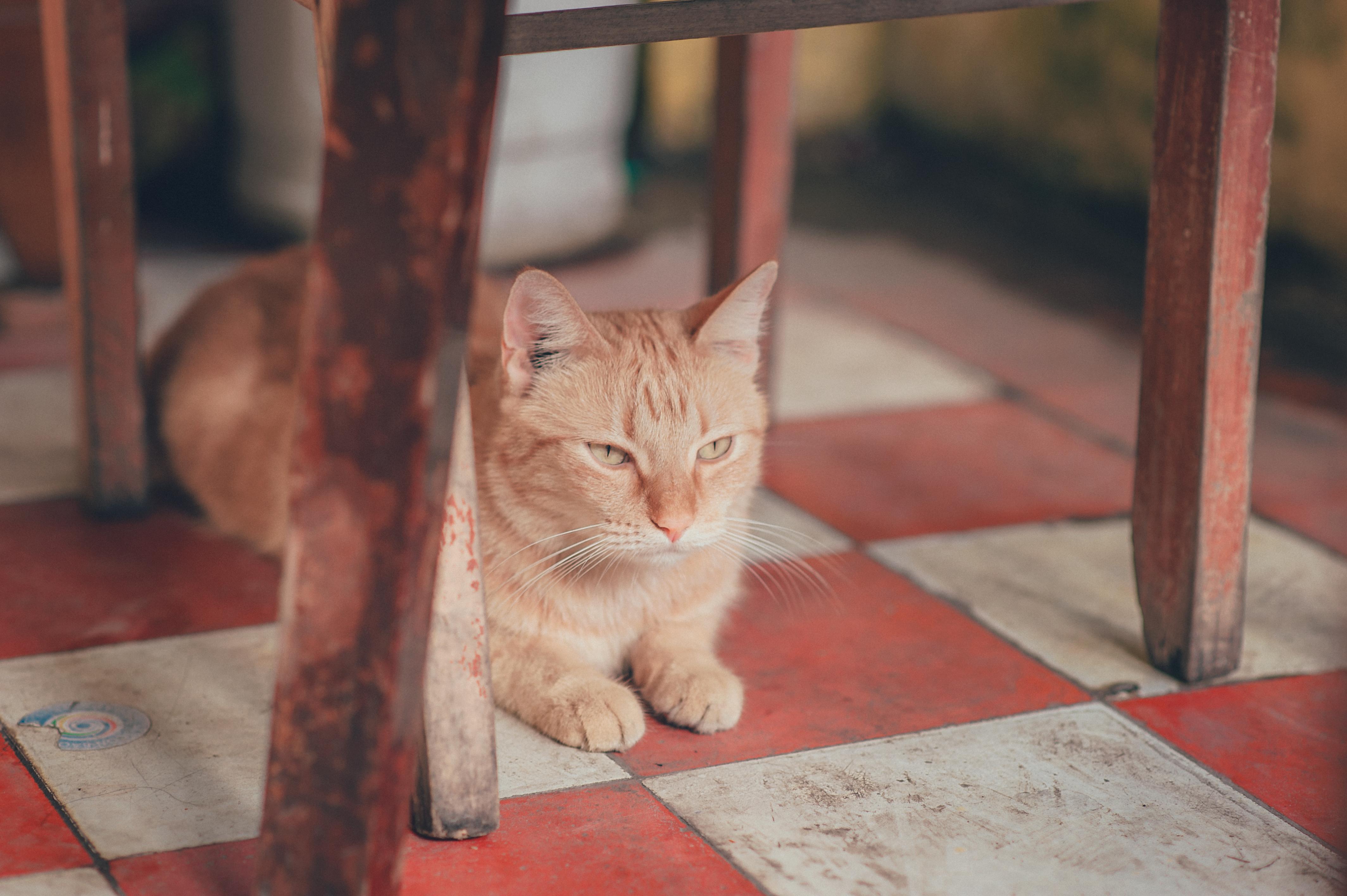 Široké africké mačička