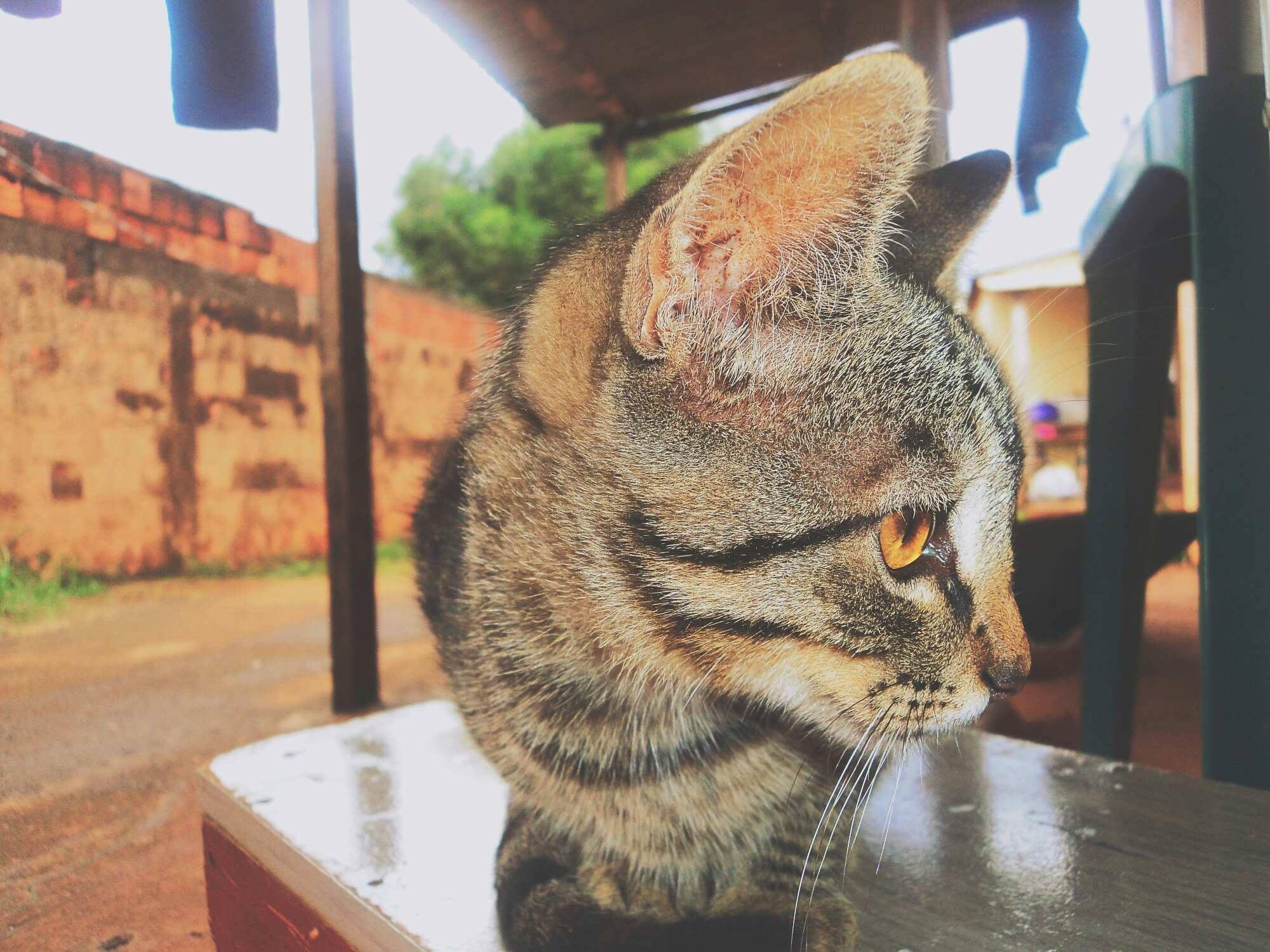 Asain kočička černý péro