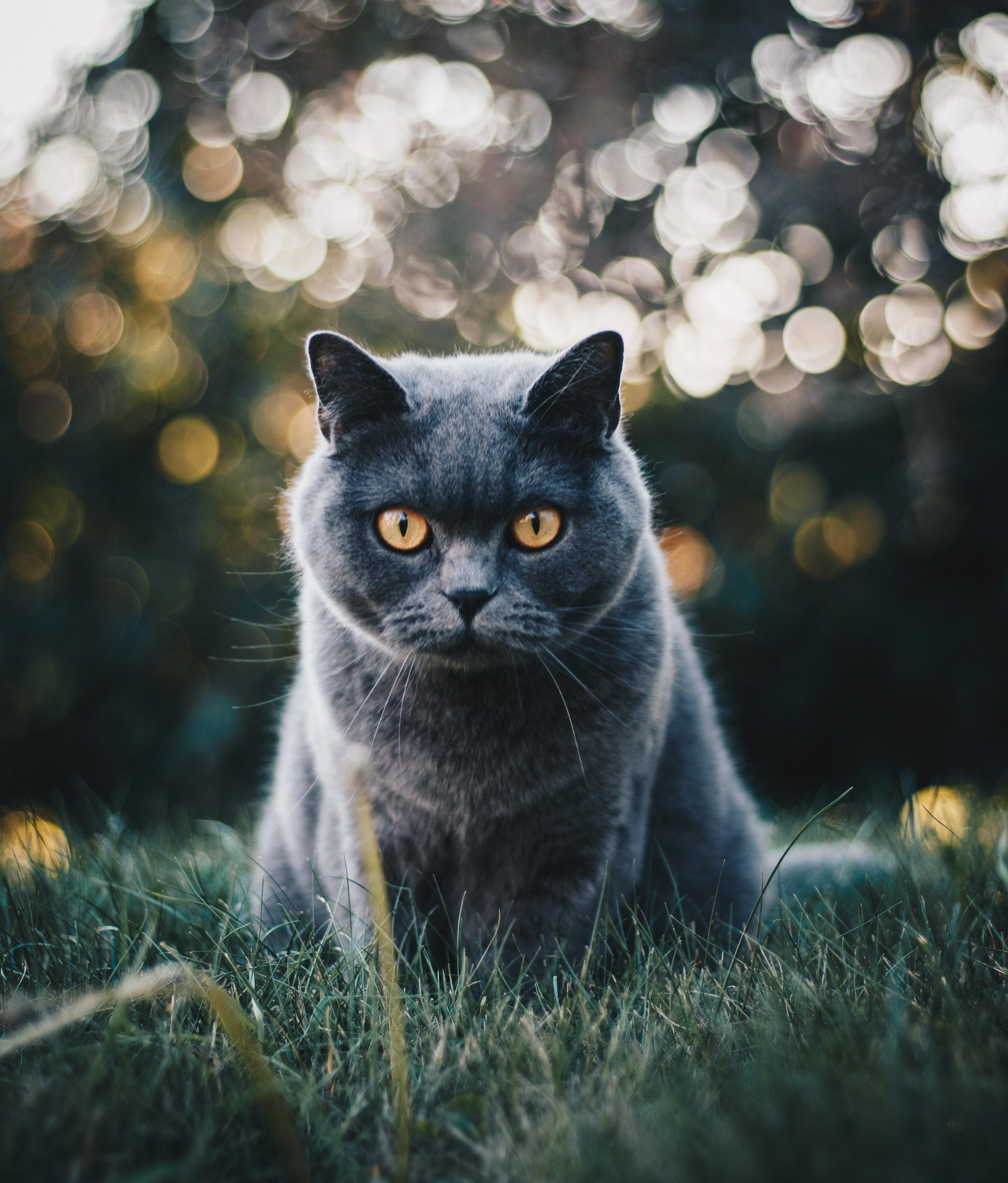 asiatico sesso gattini