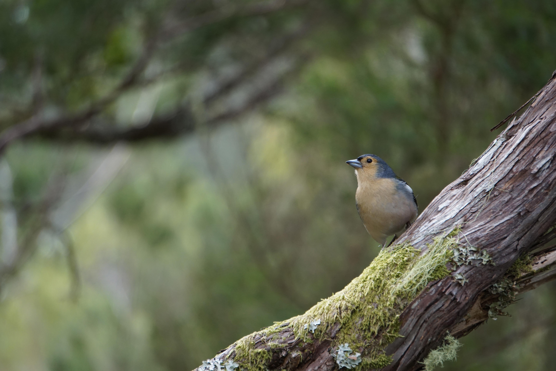 Oiseau Gratuites Chanteur Manteau Bouvreuil Pinson Images ntqTwdIx