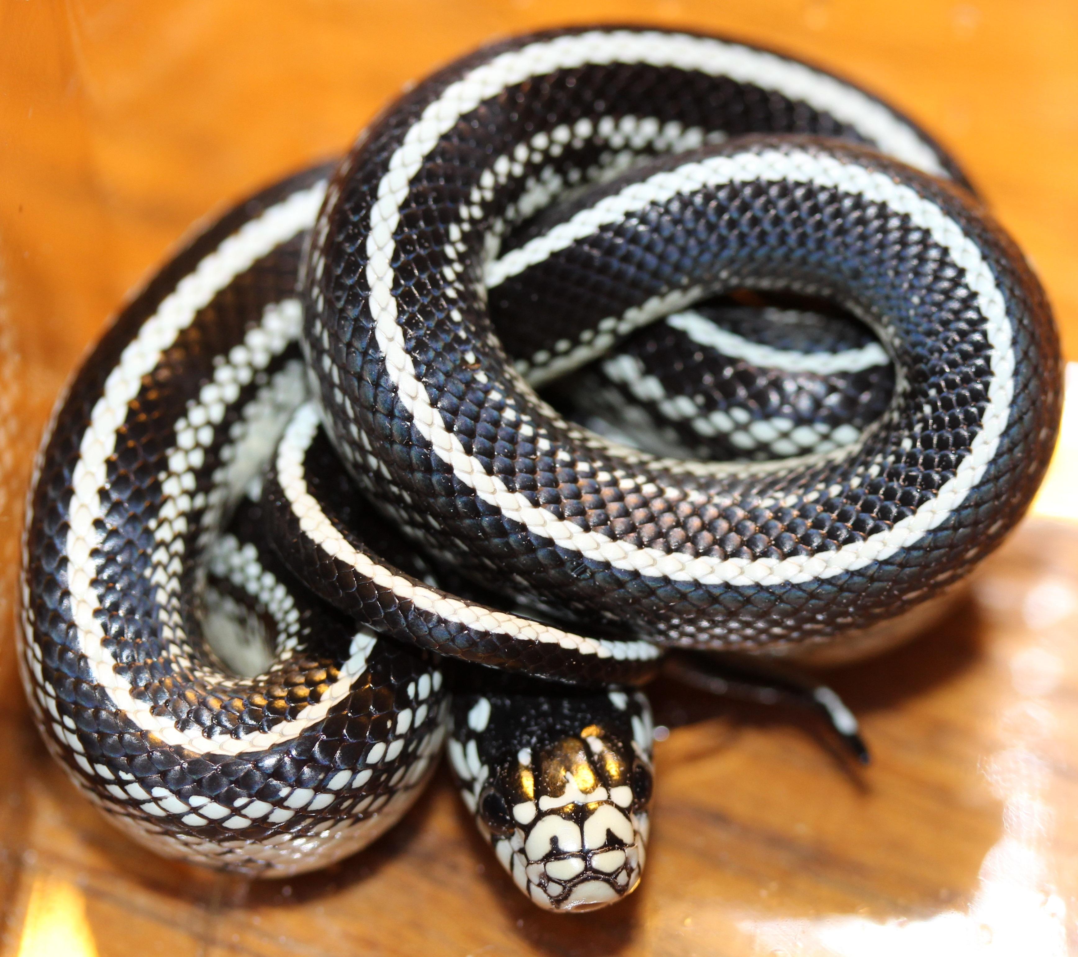 Gown Dressing Chauffaun: Accessoires Serpents
