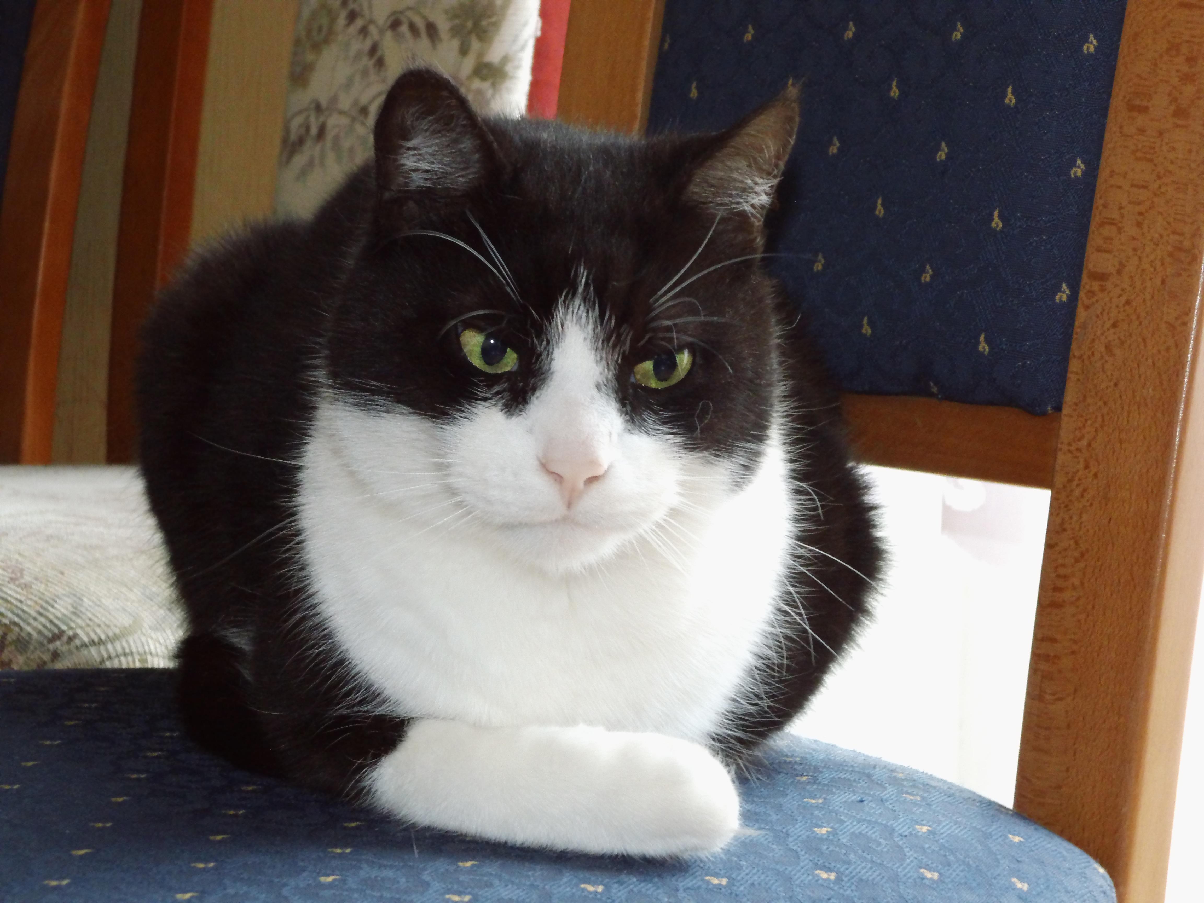 Aegean Cat Size