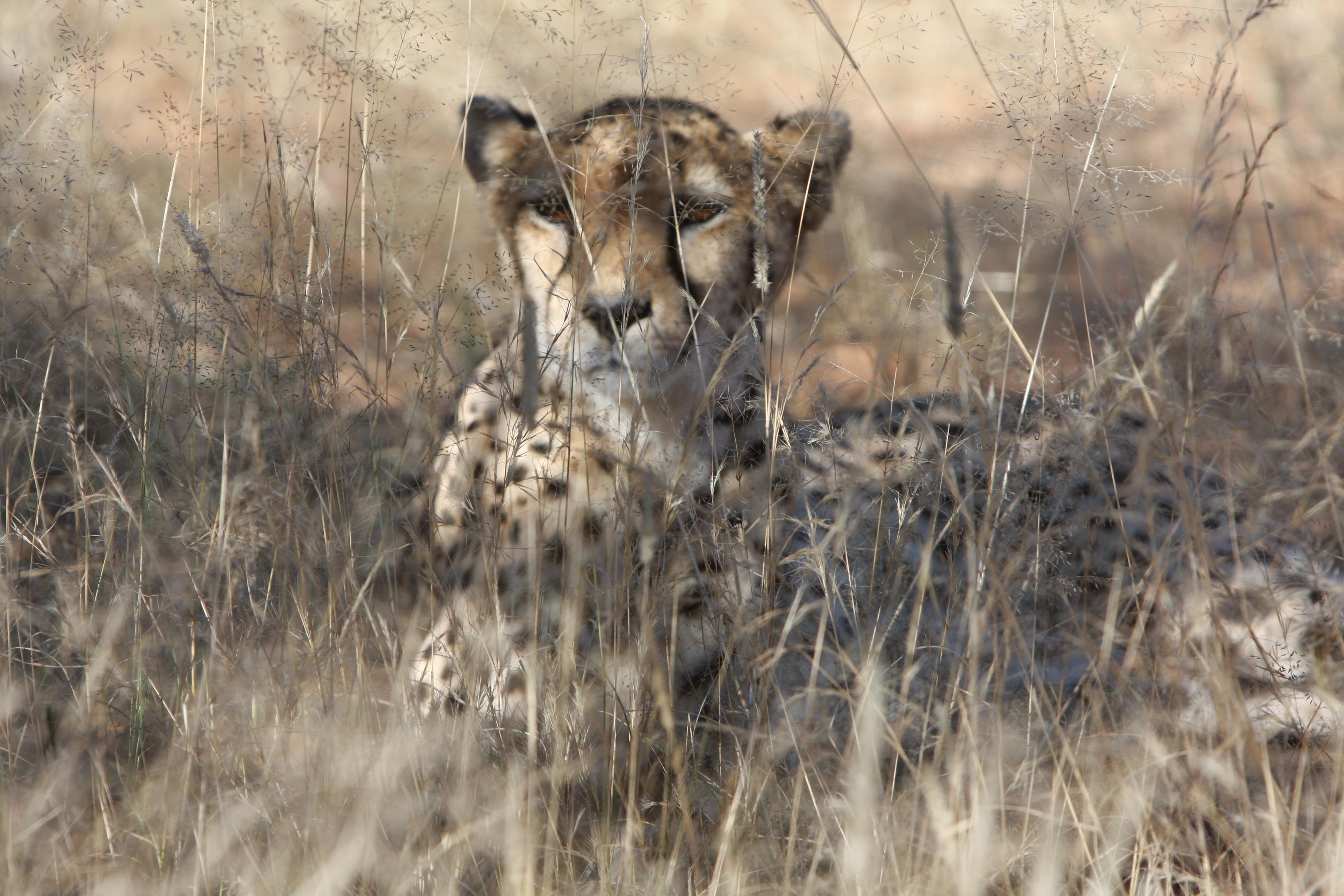 Images gratuites gu pard namibie la nature animaux sauvages photographie sauvage afrique - Image animaux gratuite ...