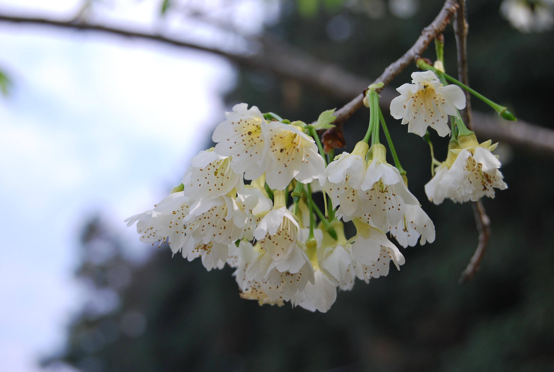 Images Gratuites Fleurs De Cerisier Blanc Printemps Flore