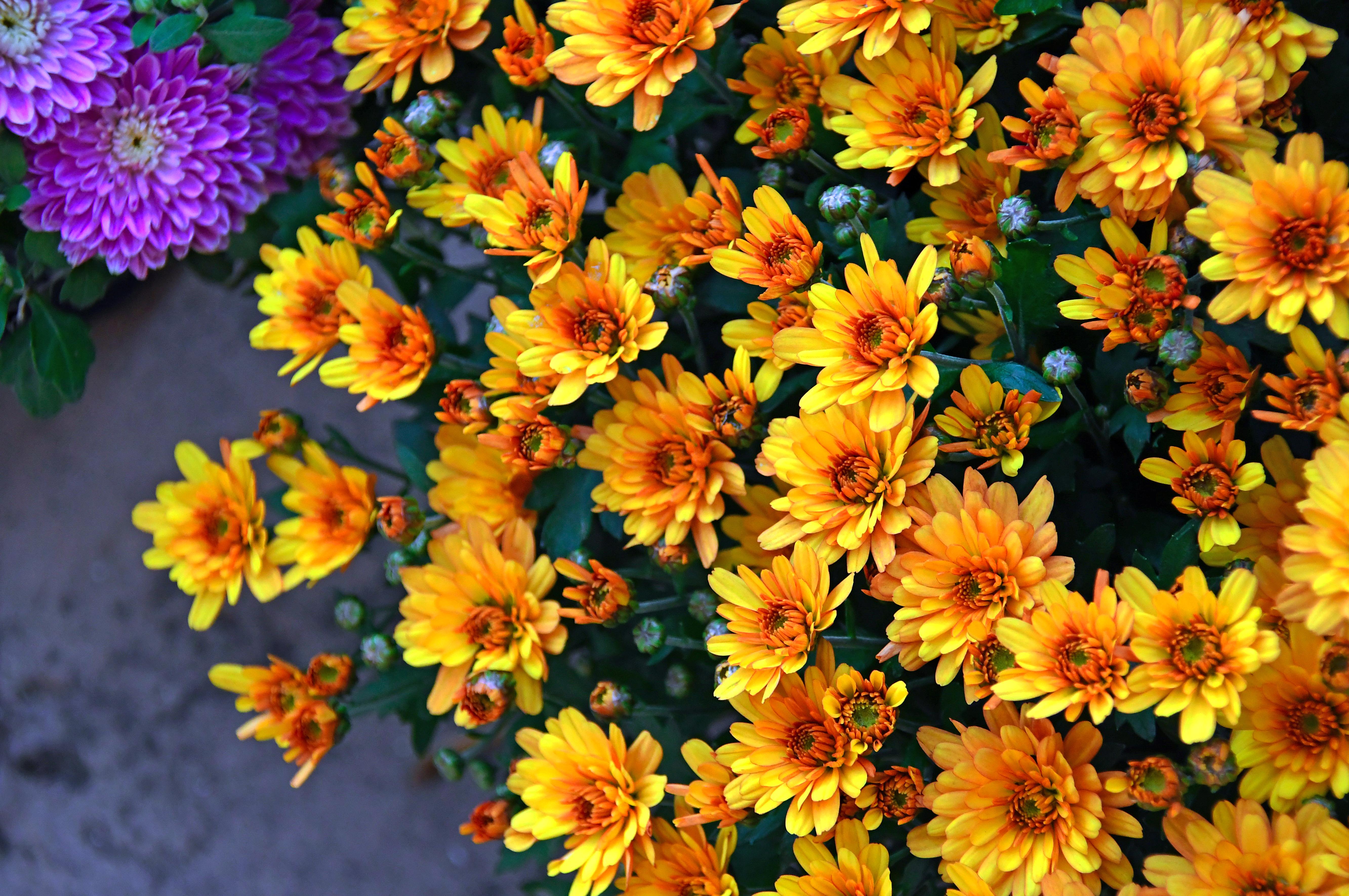 Poze Crizantemă Galben Crizanteme Floare Fundal