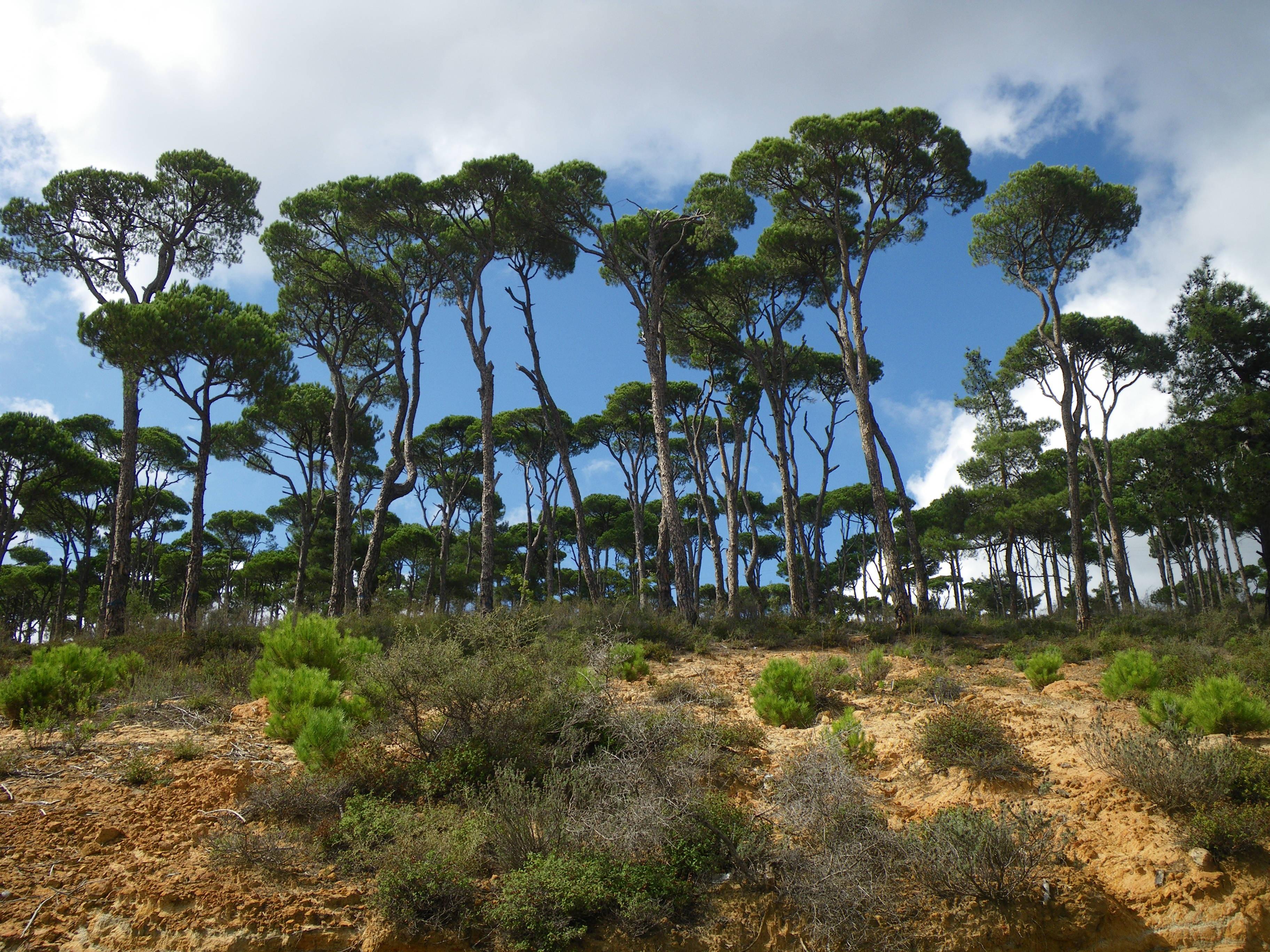 Kostenlose Foto Kuste Baum Natur Wald Blume Kiefer