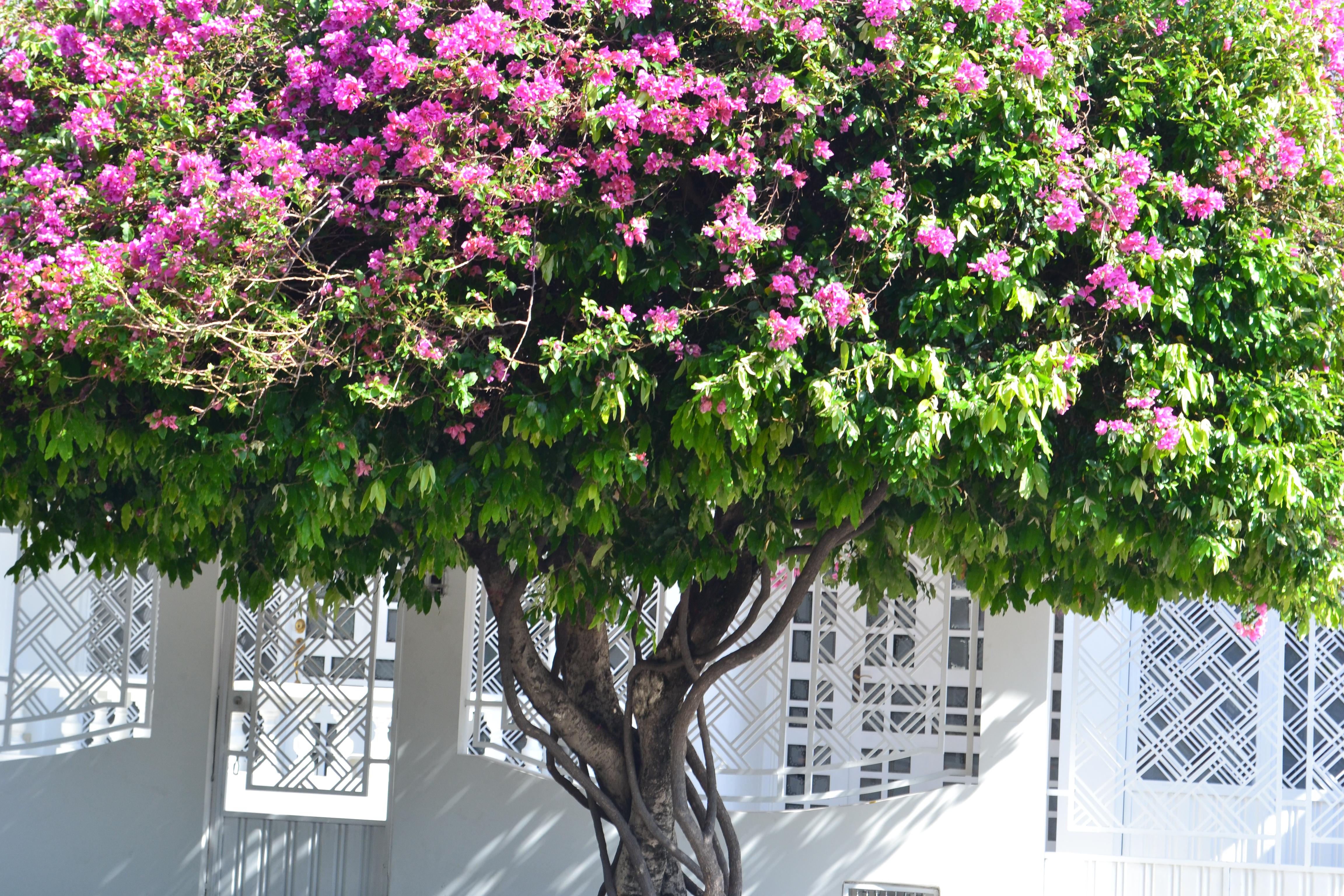 Planter Un Lilas En Pot images gratuites : colombie, arbre, plante à fleurs, arbuste