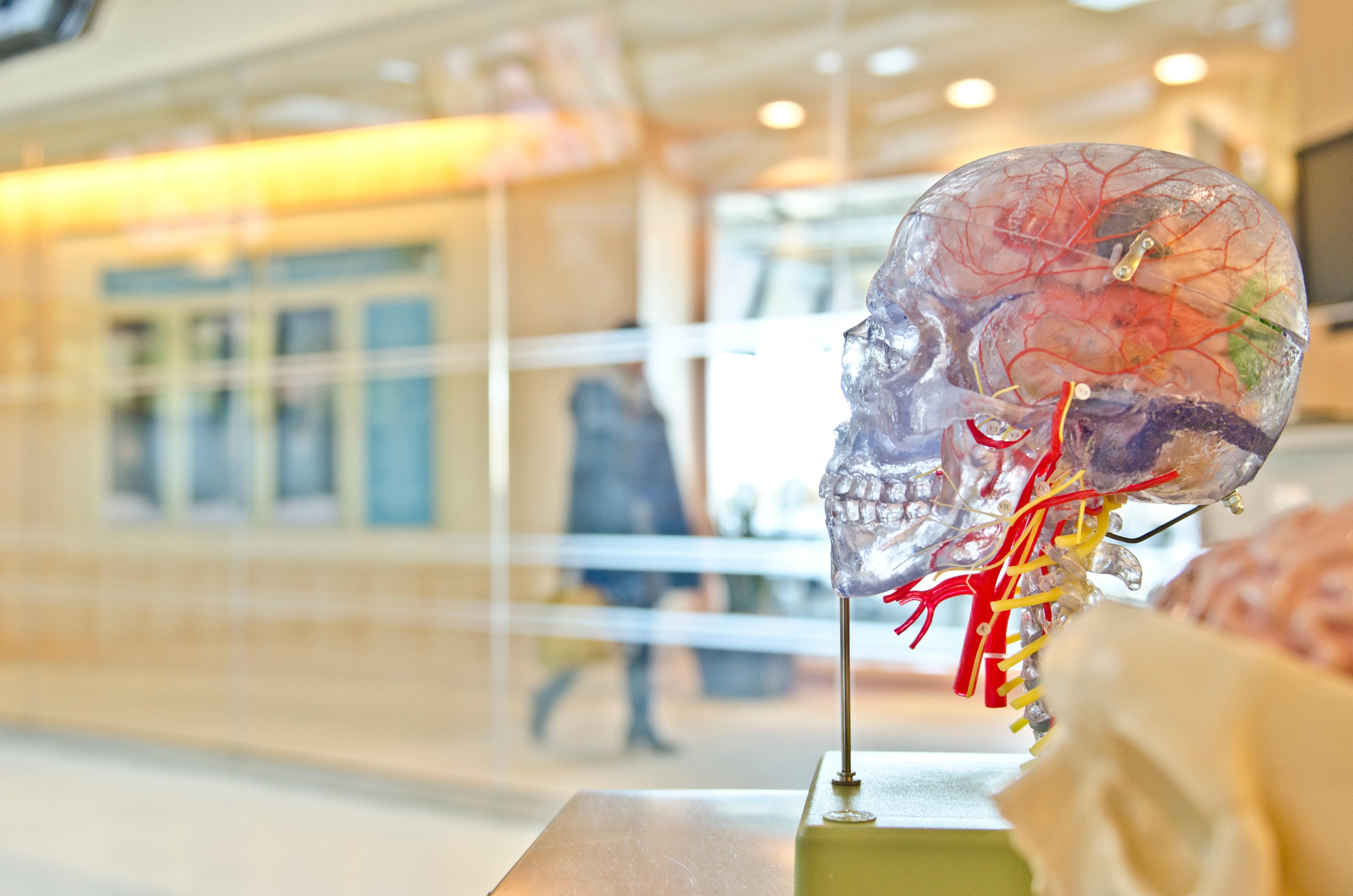 Fotos gratis : color, cráneo, art, ciencia, cerebro, anatomía ...
