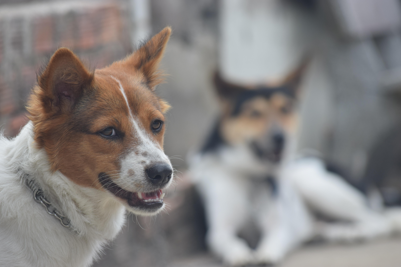 Free Images Countryside Puppy Vertebrate Dog Breed Welsh Corgi