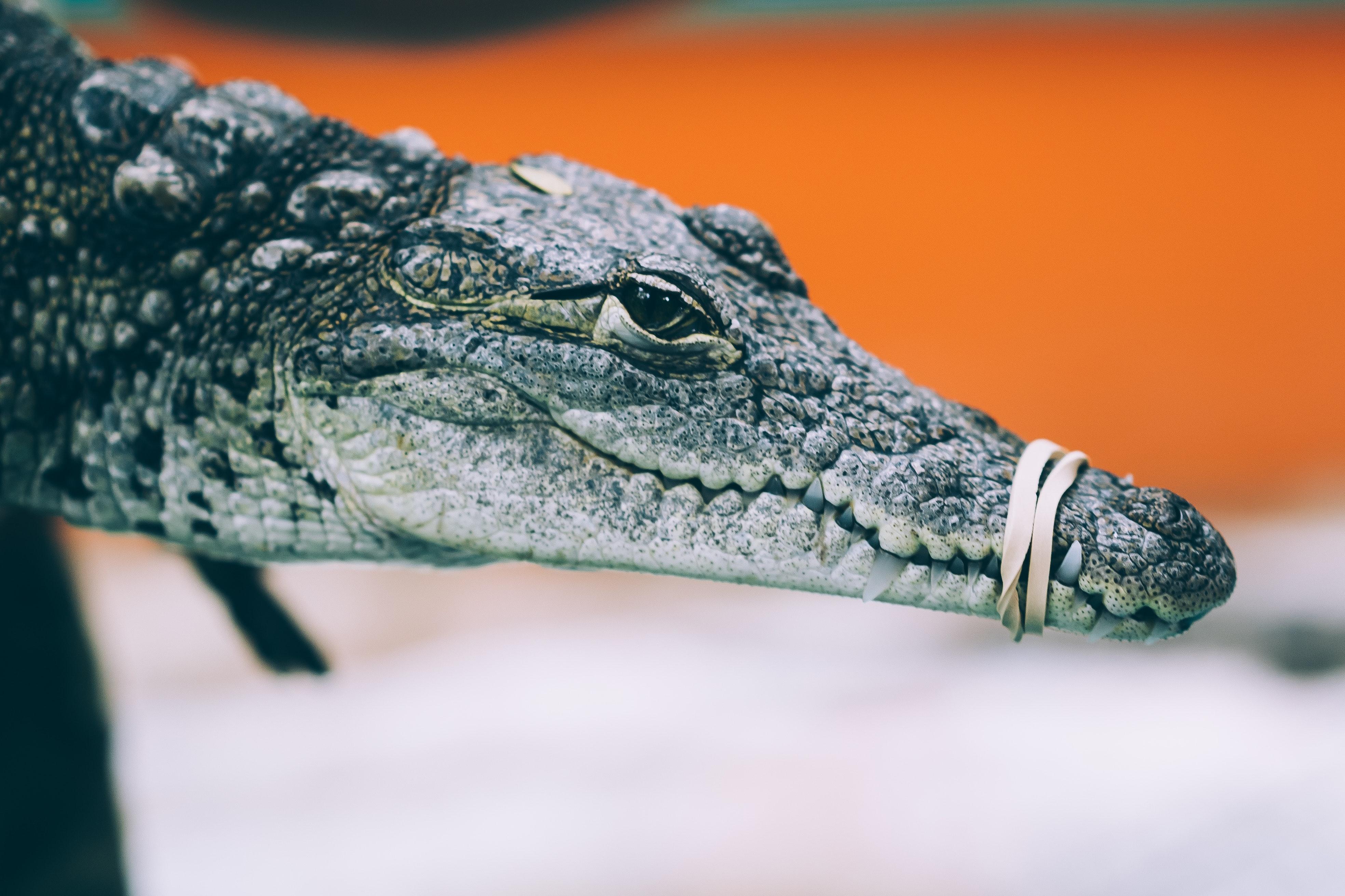 рукой чем отличается крокодил от аллигатора фото задачи
