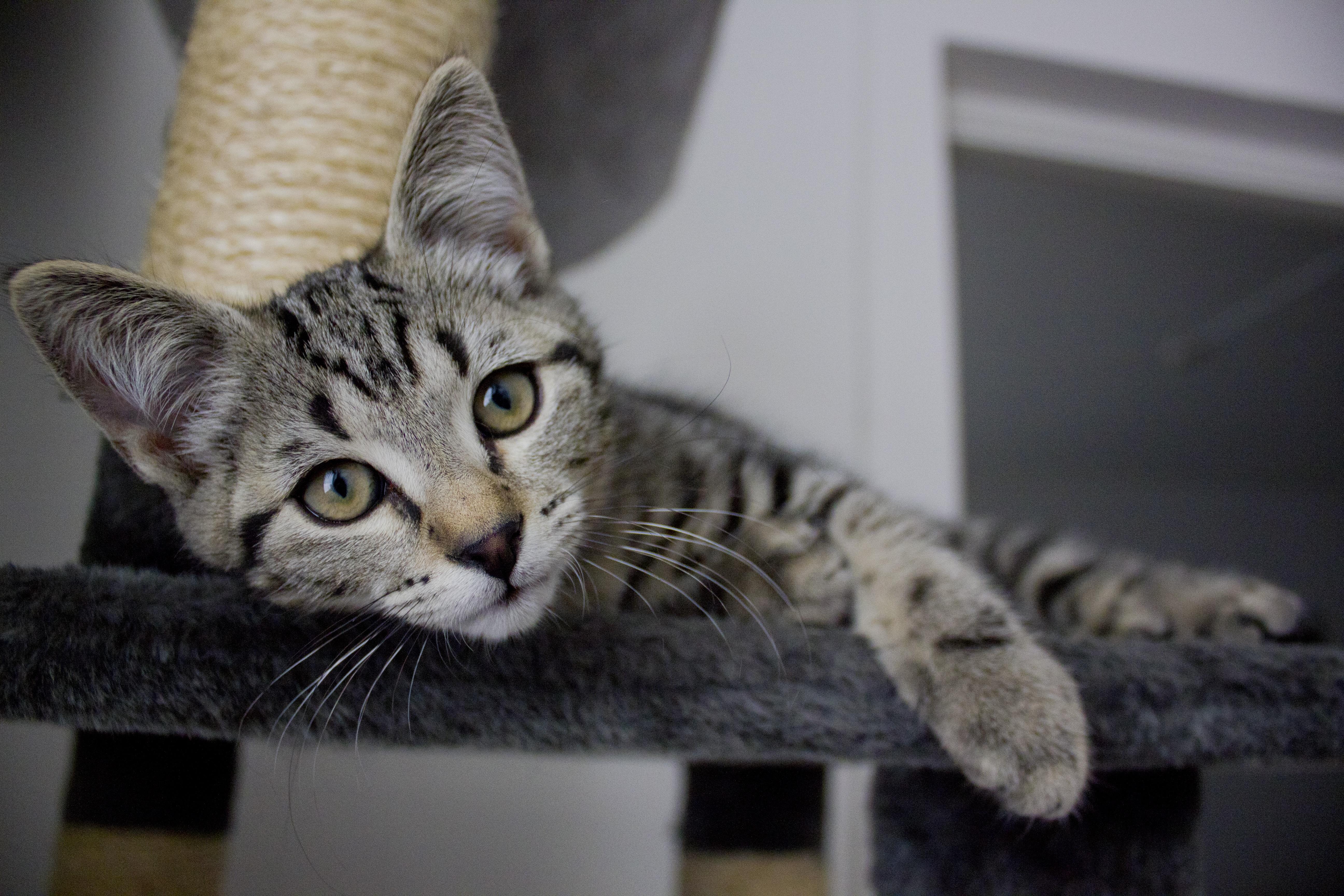Free kitten pets whiskers savannah animals