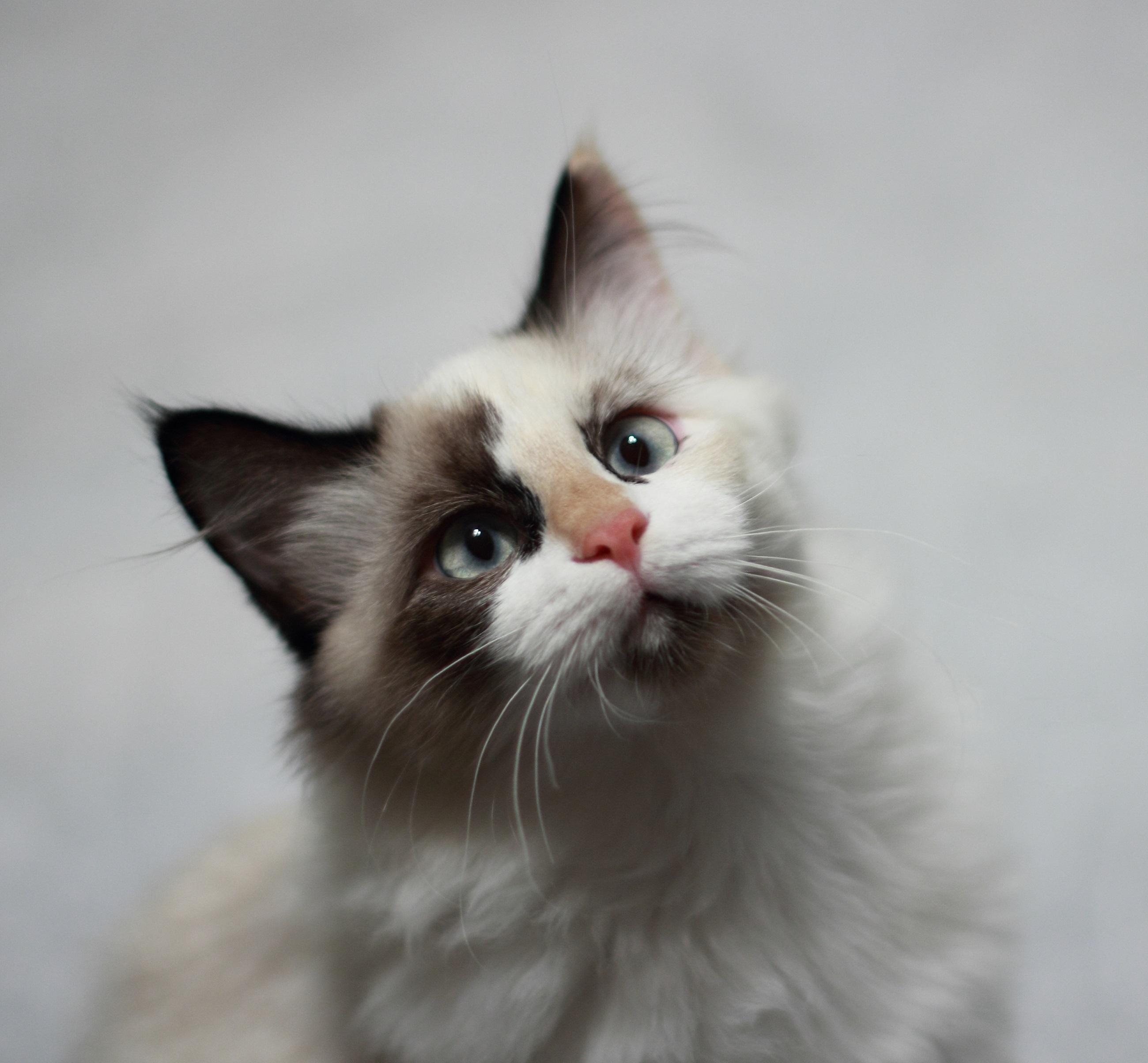 Free Images Cute Looking Fur Portrait Kitten Sitting