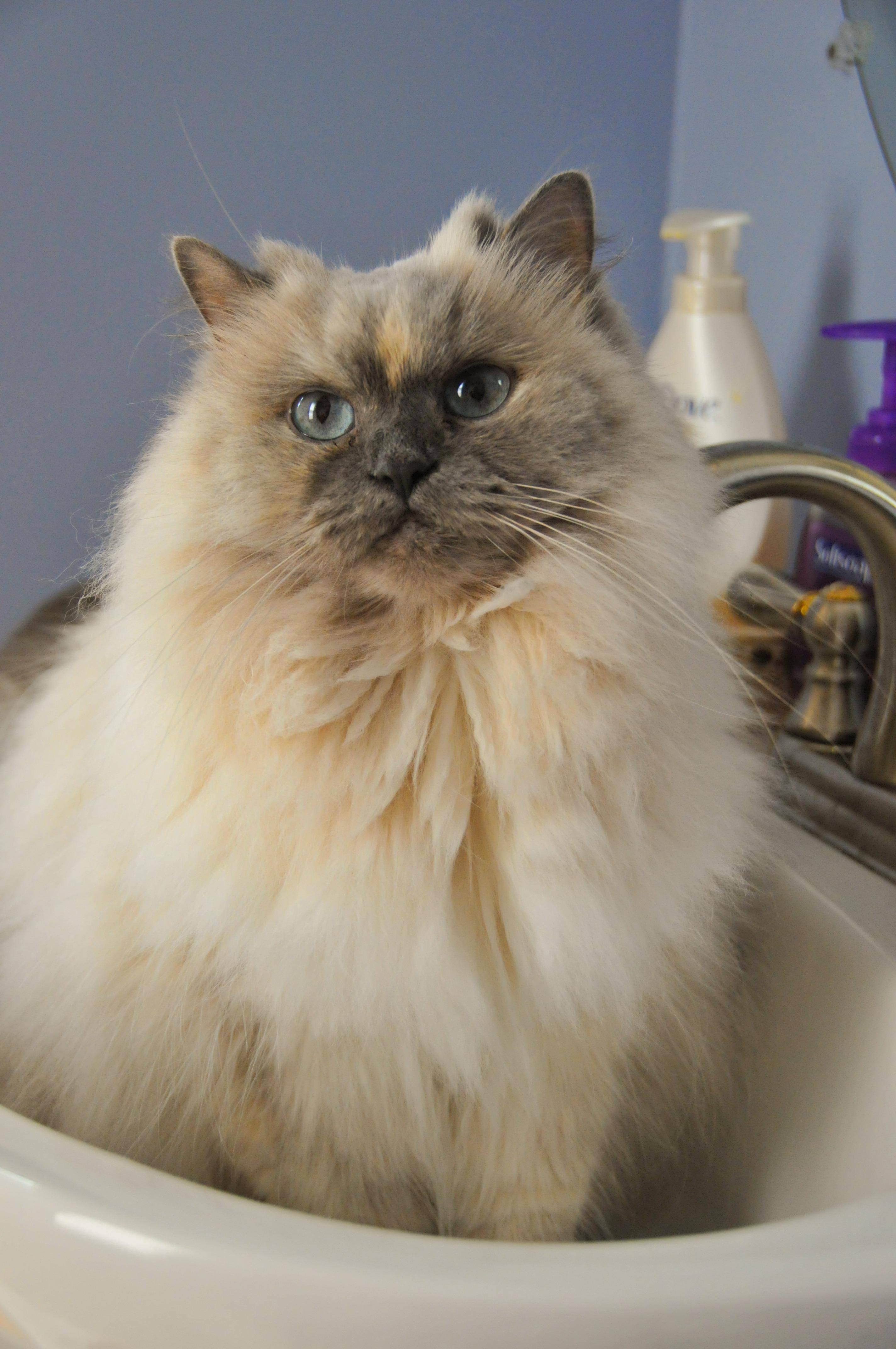 Free Images : cute, pet, fur, fluffy, kitten, tabby, sink, playful ...