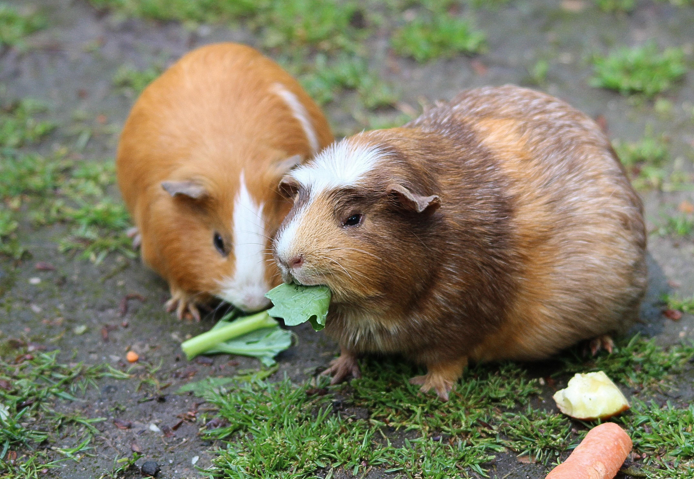 Evcil hayvanlar: Gine domuzu ne yiyor