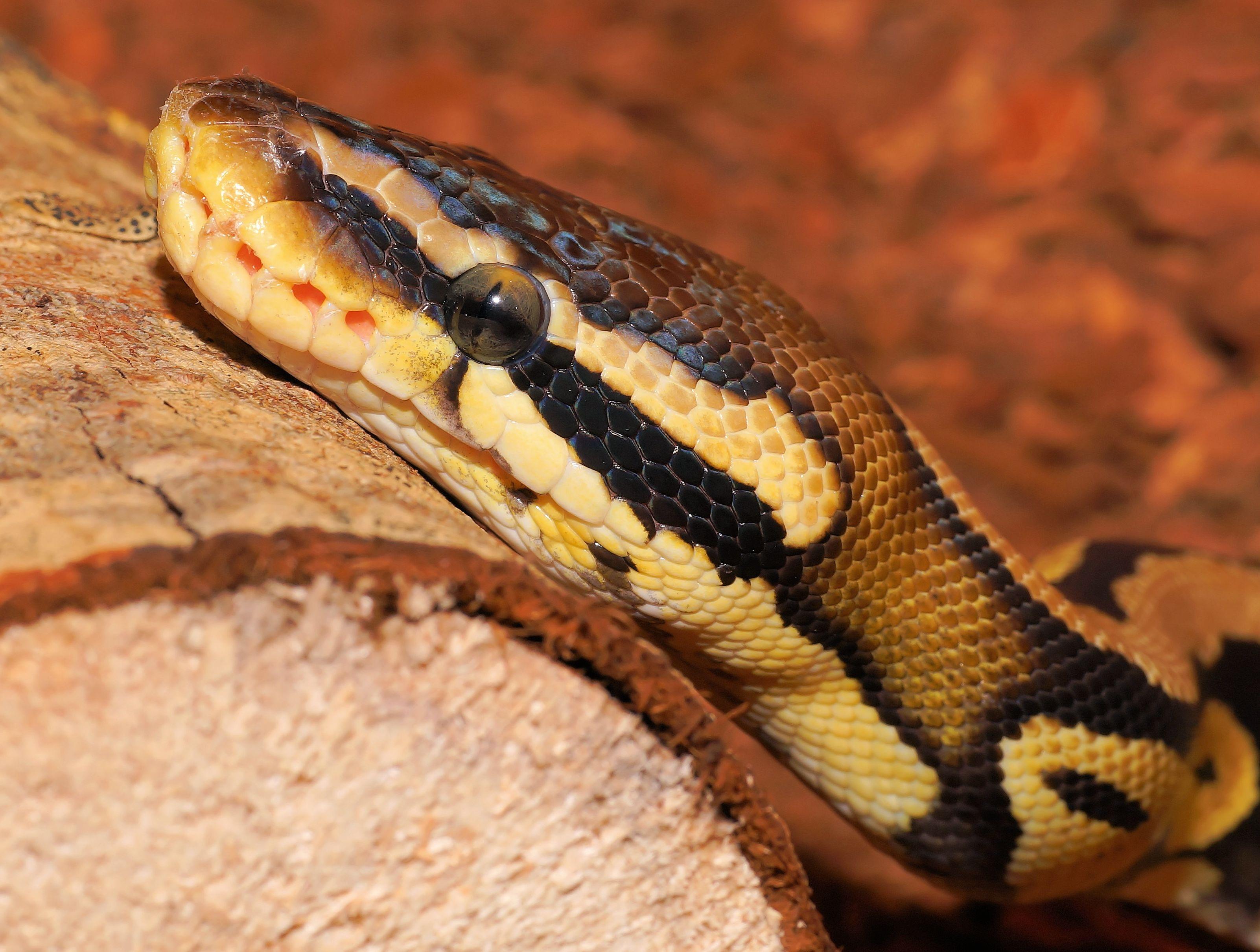 Змея питон картинки