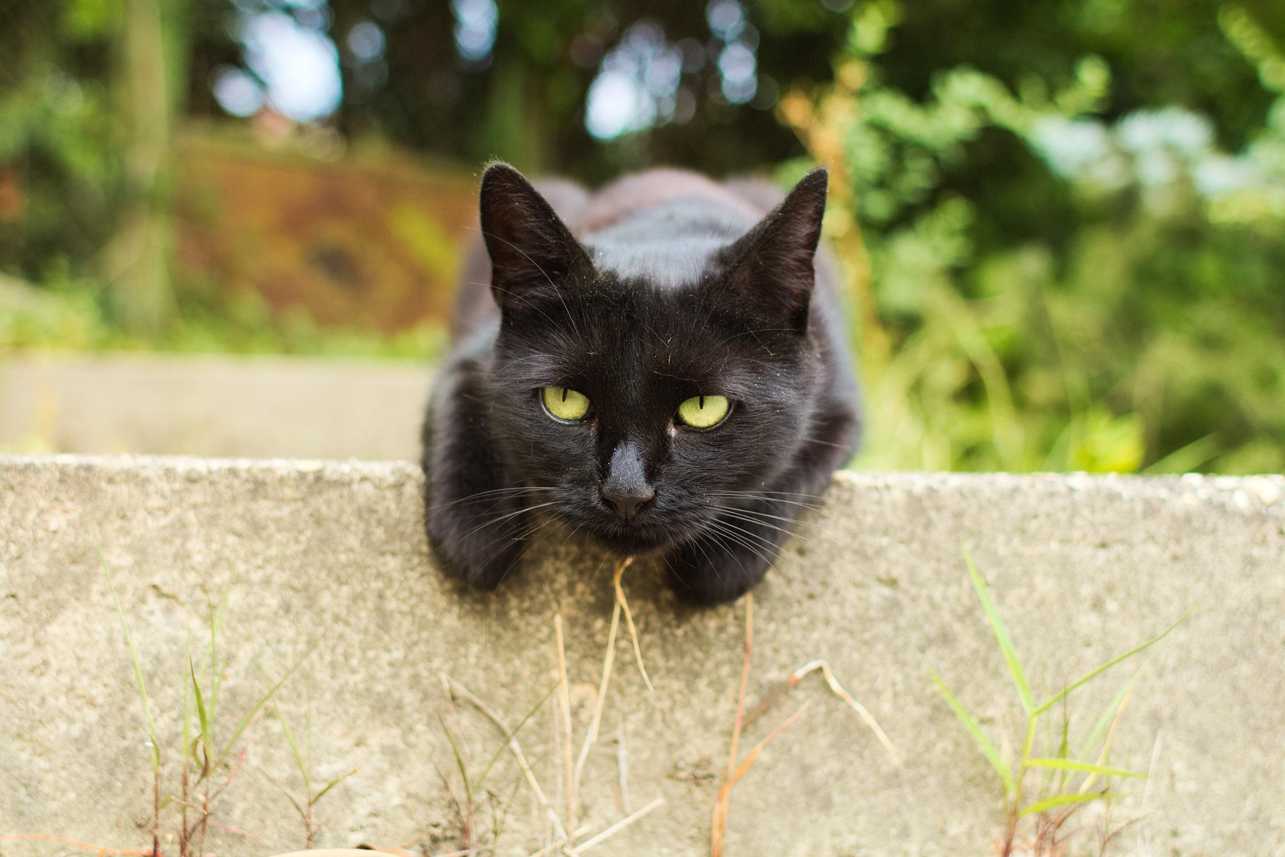 парился черные кошки животные фото понять