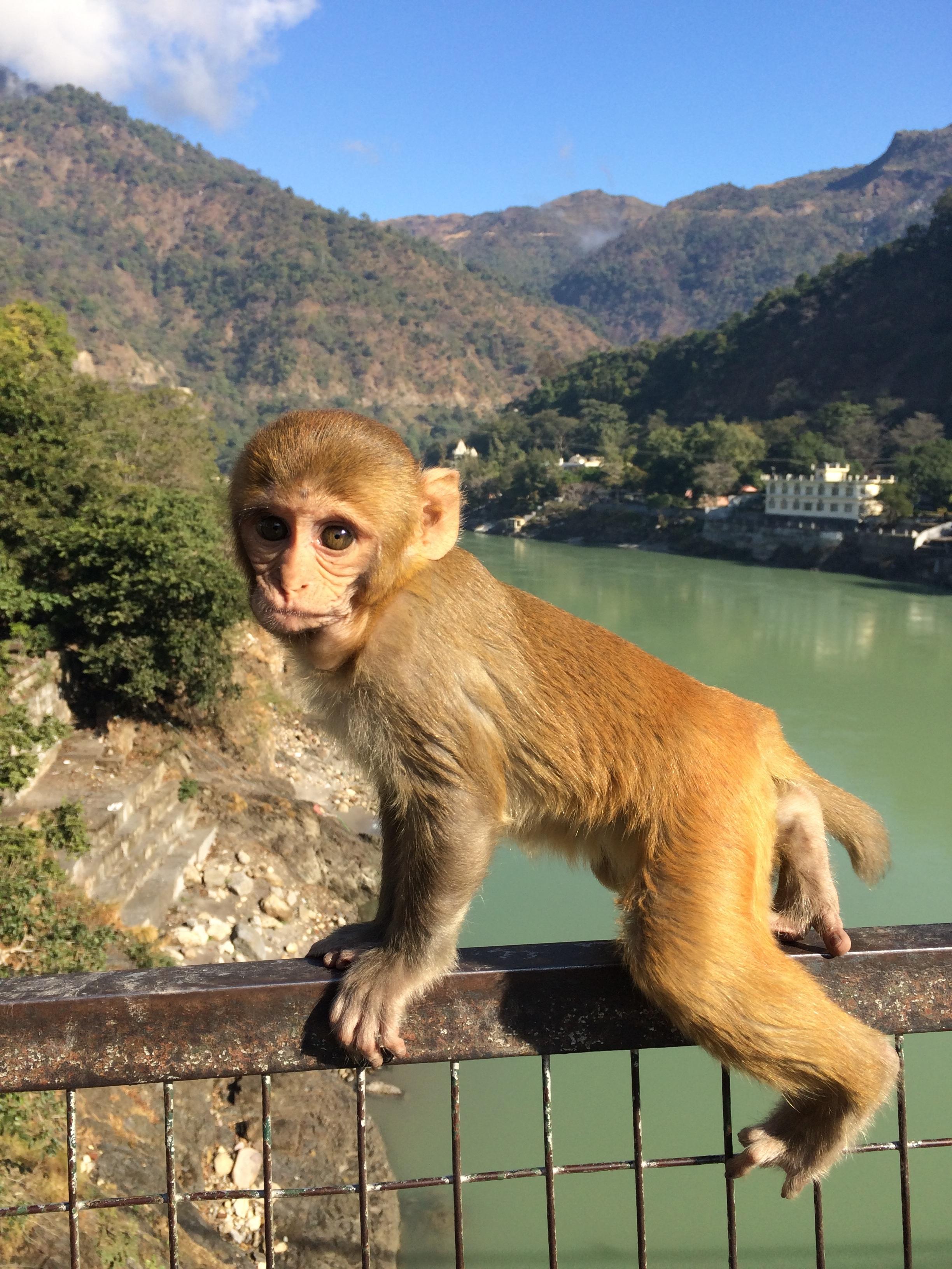 hình ảnh : dễ thương, Động vật hoang dã, vườn bách thú, Động vật có vú, con khỉ, Động vật, Linh trưởng, Động vật có xương sống, Ấn Độ, Khỉ khổng lồ, ...
