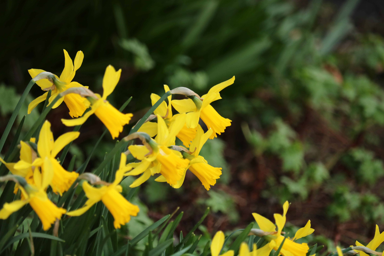 Poze Zarnacadea Narcise Grădină Galben Verde Grădini
