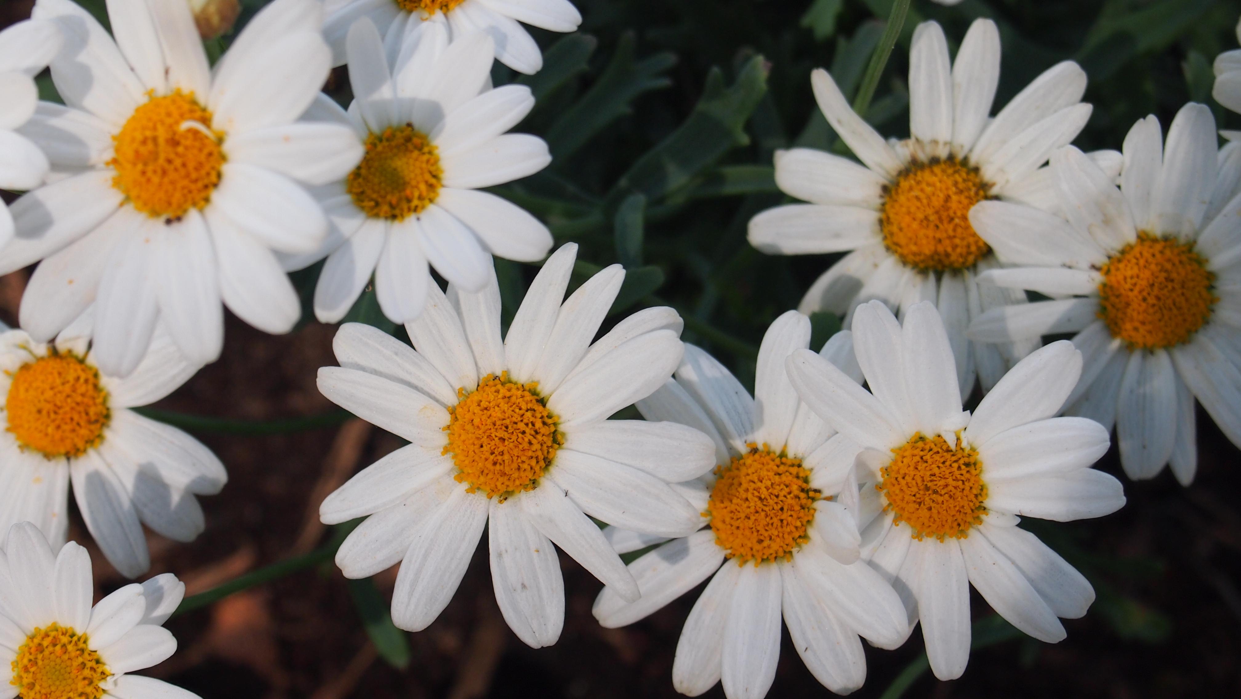 Images Gratuites Fleurs Fleur Oxeye Daisy Chamaemelum Nobile