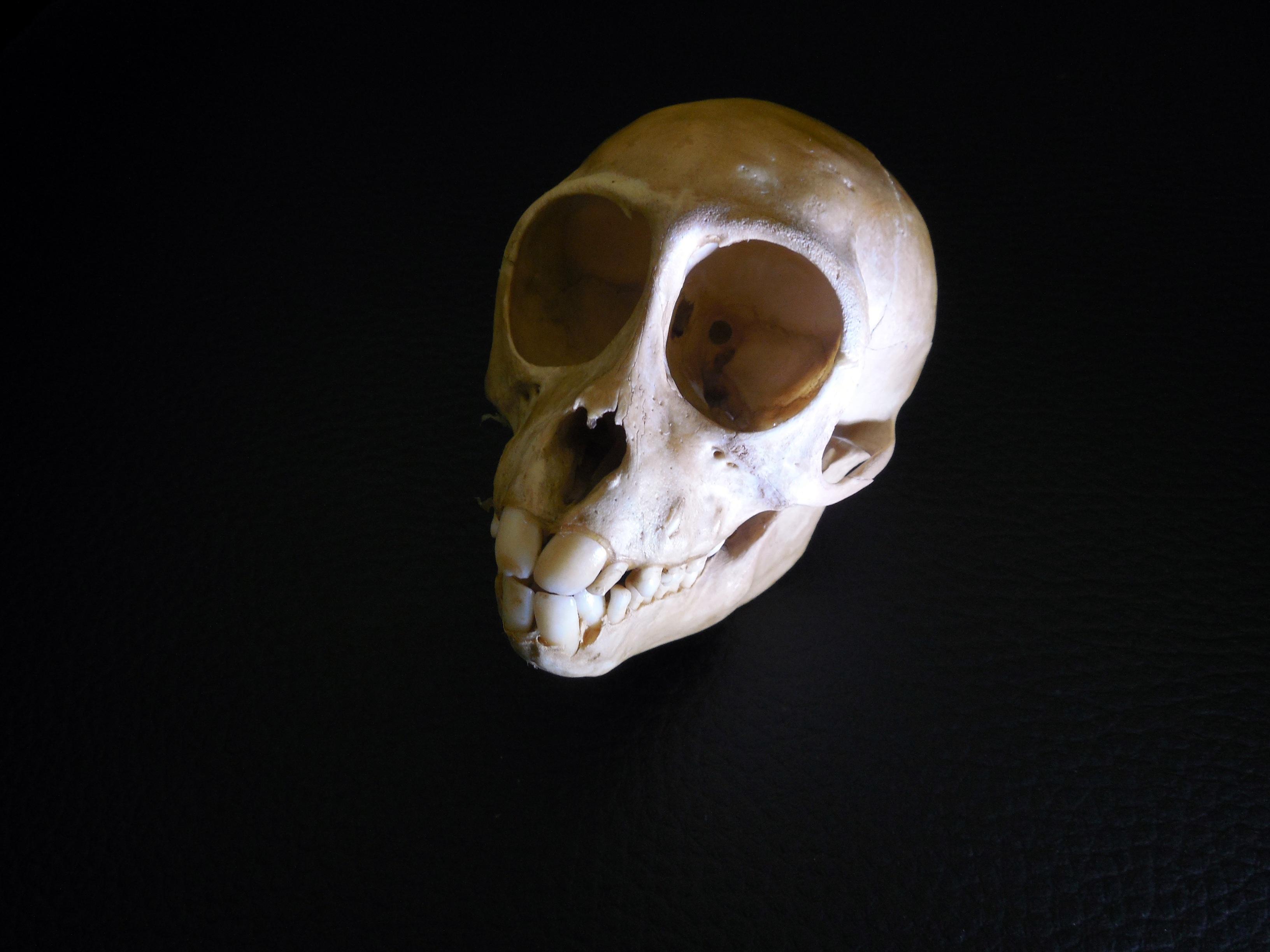 Kostenlose foto : tot, Schädel, Primas, Knochen, Mund, menschlicher ...