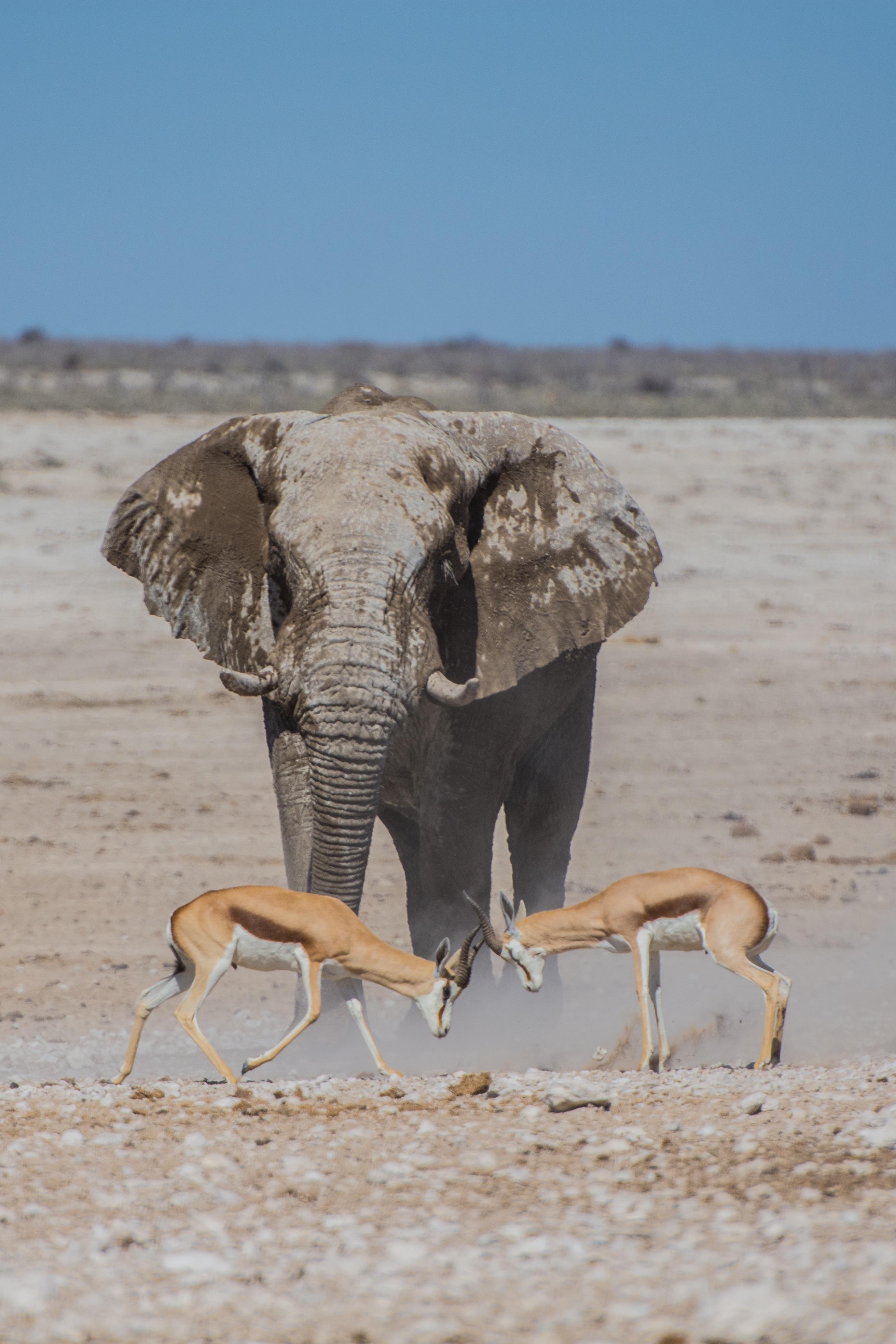 Images gratuites d sert animal faune poussi re mammif re savane l phant antilope - Photos d elephants gratuites ...