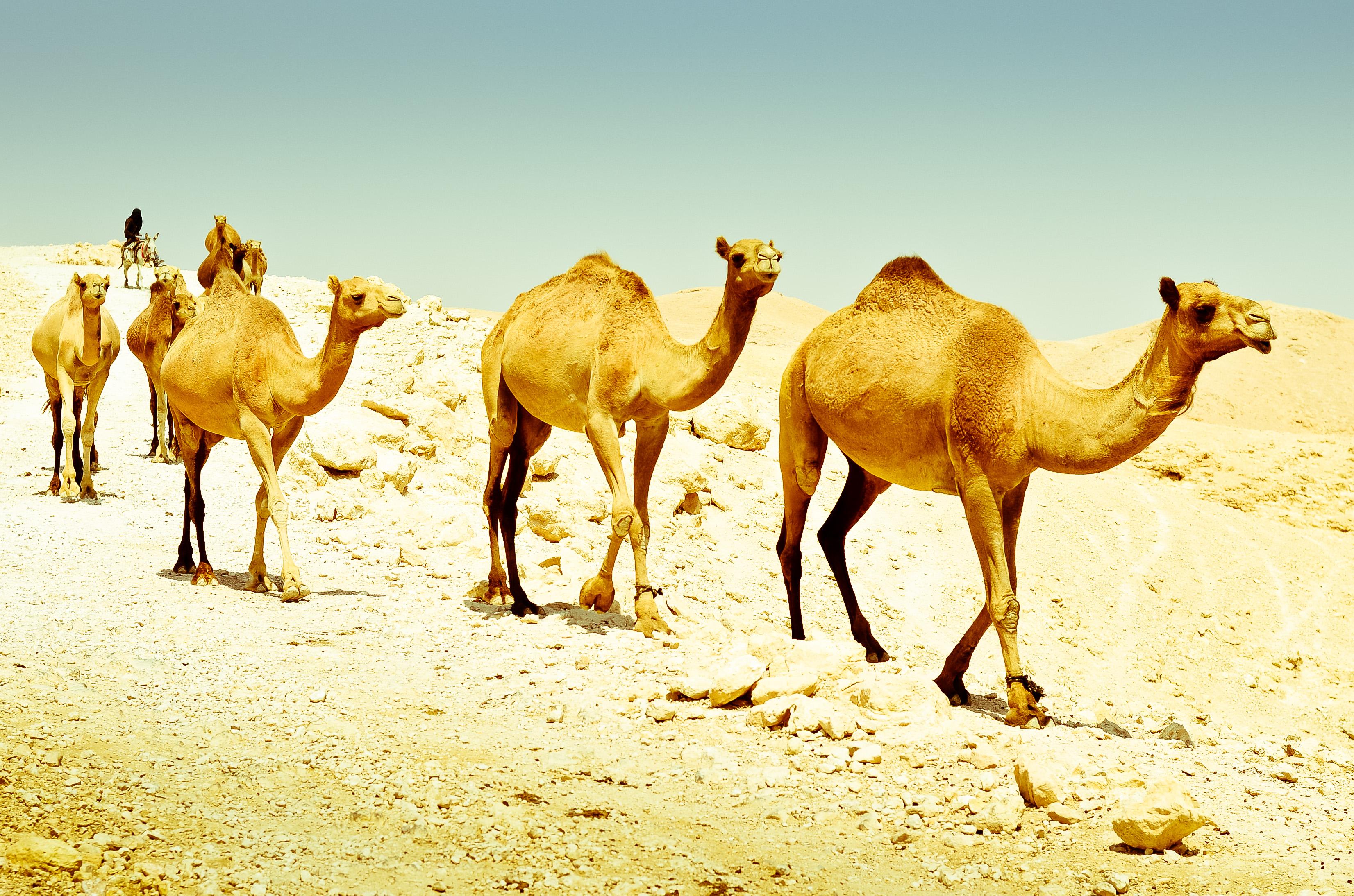 is a camel a mammal pdf