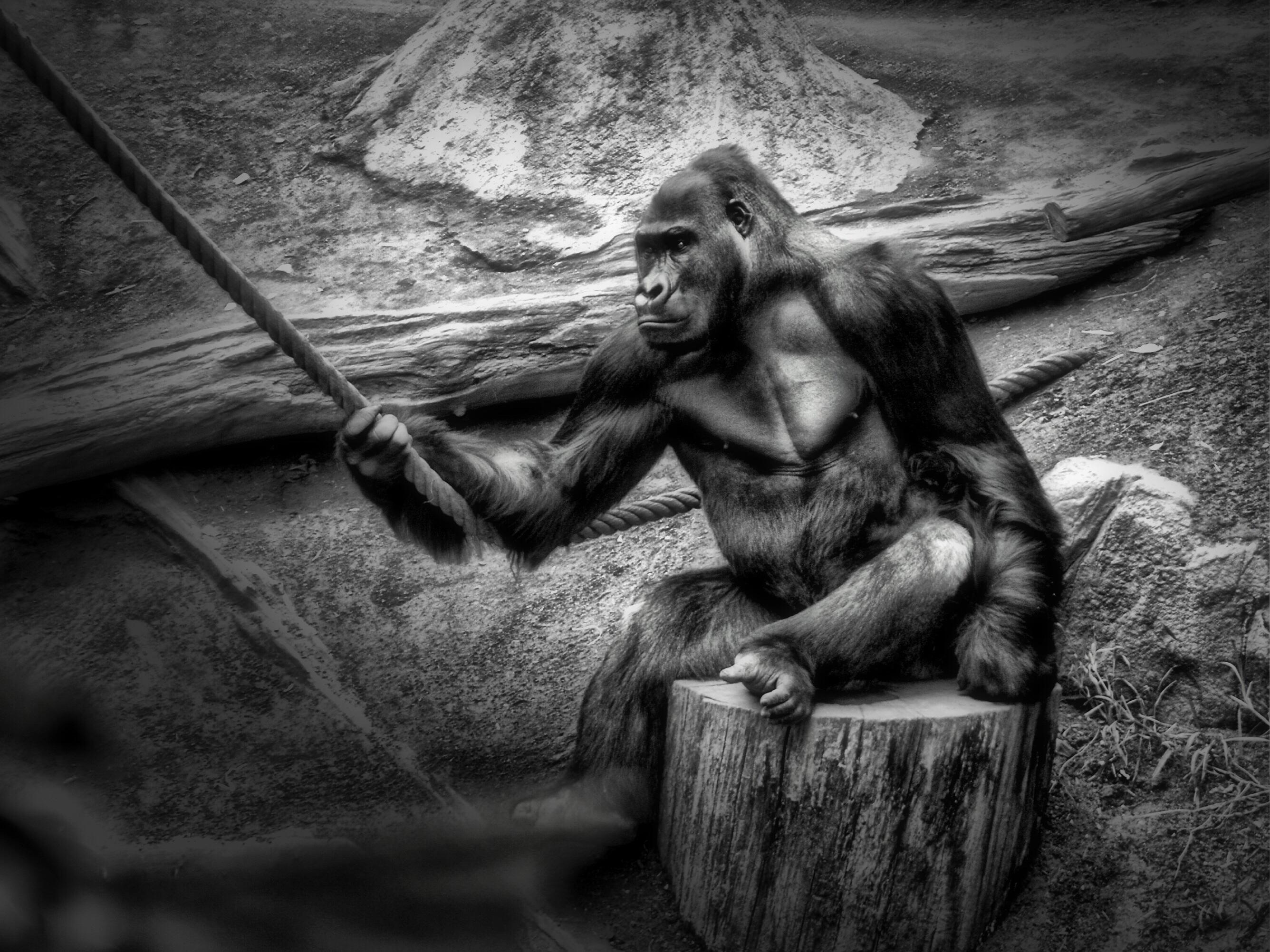 ape tegning