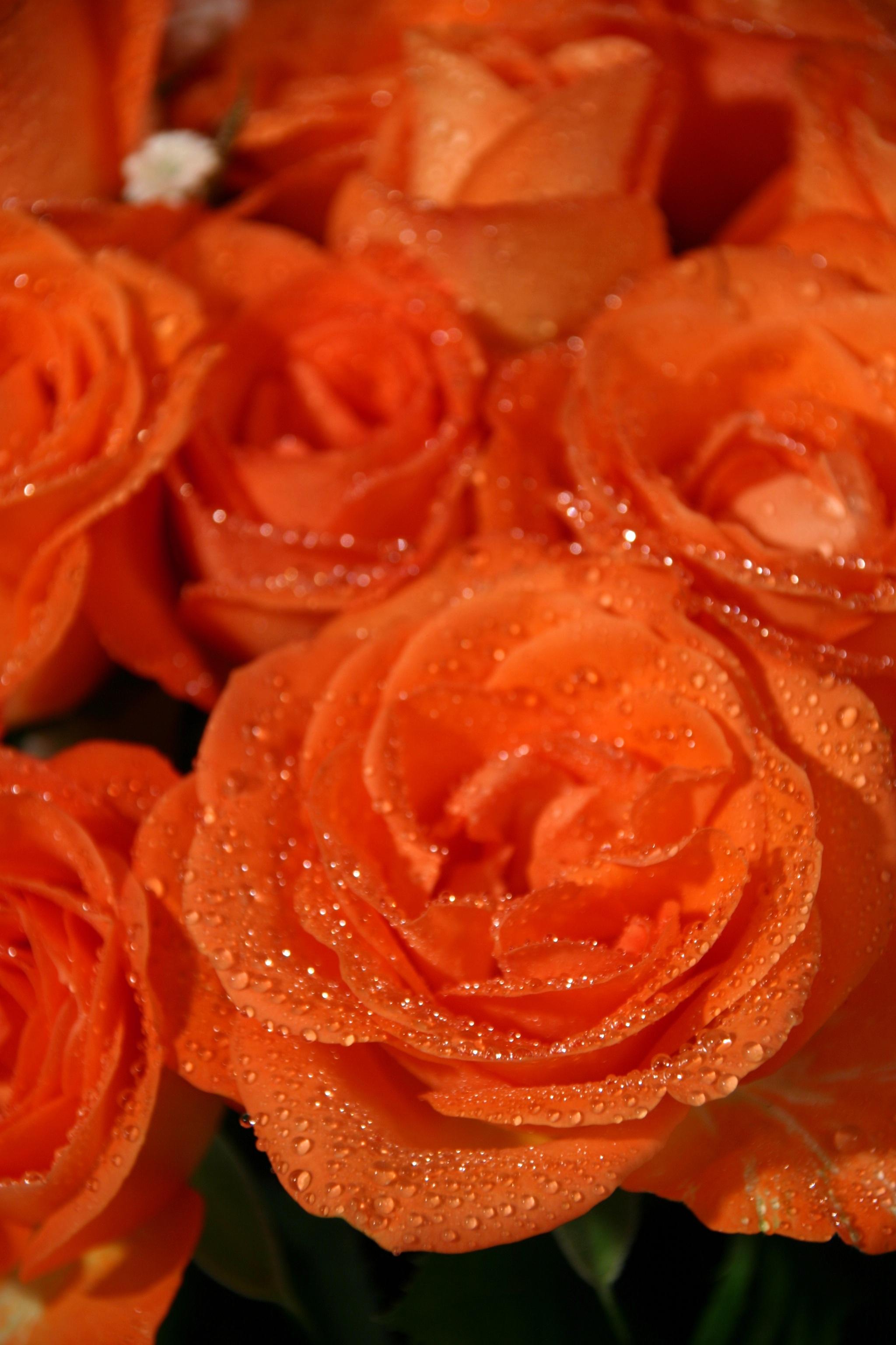 пришло розово оранжевые розы картинка днях поступило сообщение