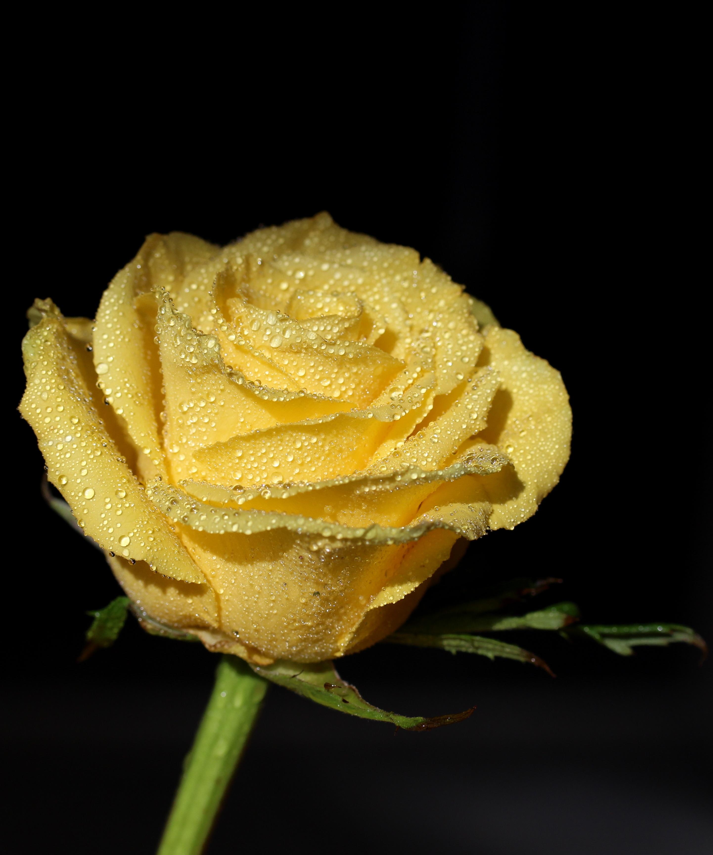 картинки растоптать желтую розу найти достойные