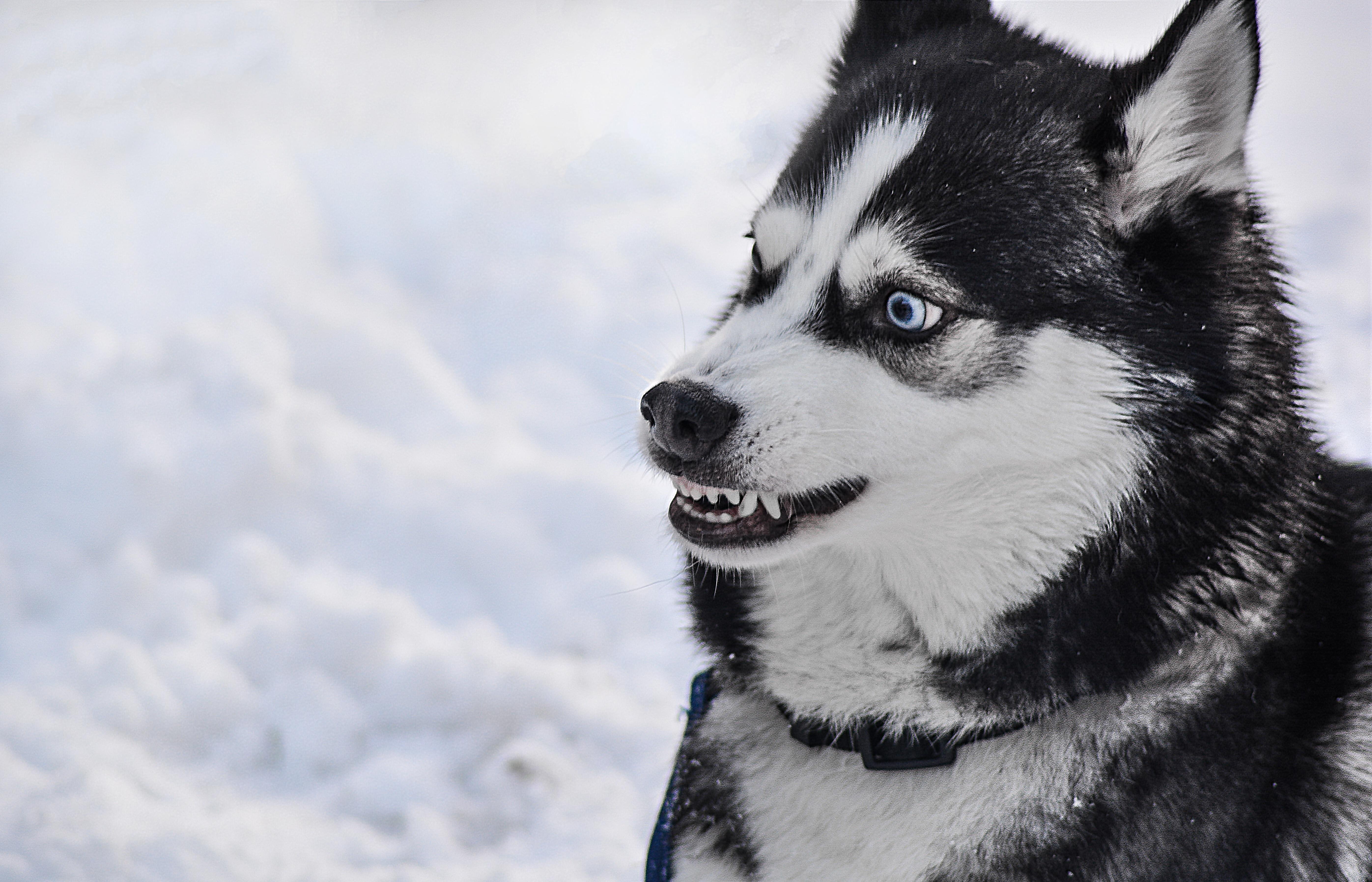 Kostenlose Foto Wütend Zähne Achtung Rasse Tier Weiß