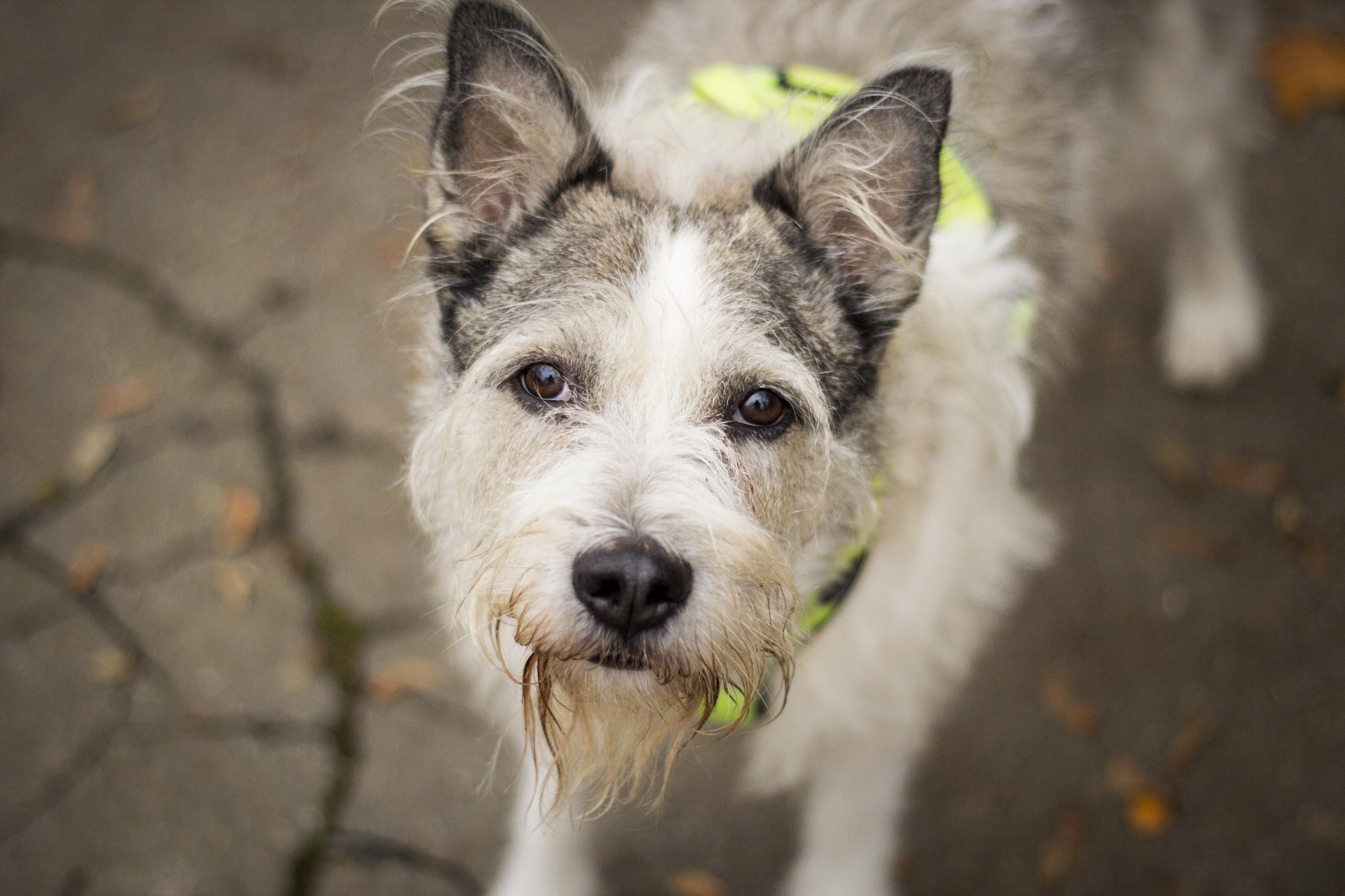 Good Cairn Terrier Ball Adorable Dog - dog-animal-cute-canine-pet-park-mammal-outdoors-head-vertebrate-schnauzer-miniature-schnauzer-dog-breed-terrier-cairn-terrier-dog-like-mammal-west-highland-white-terrier-glen-of-imaal-terrier-dog-crossbreeds-1278883  Image_104270  .jpg