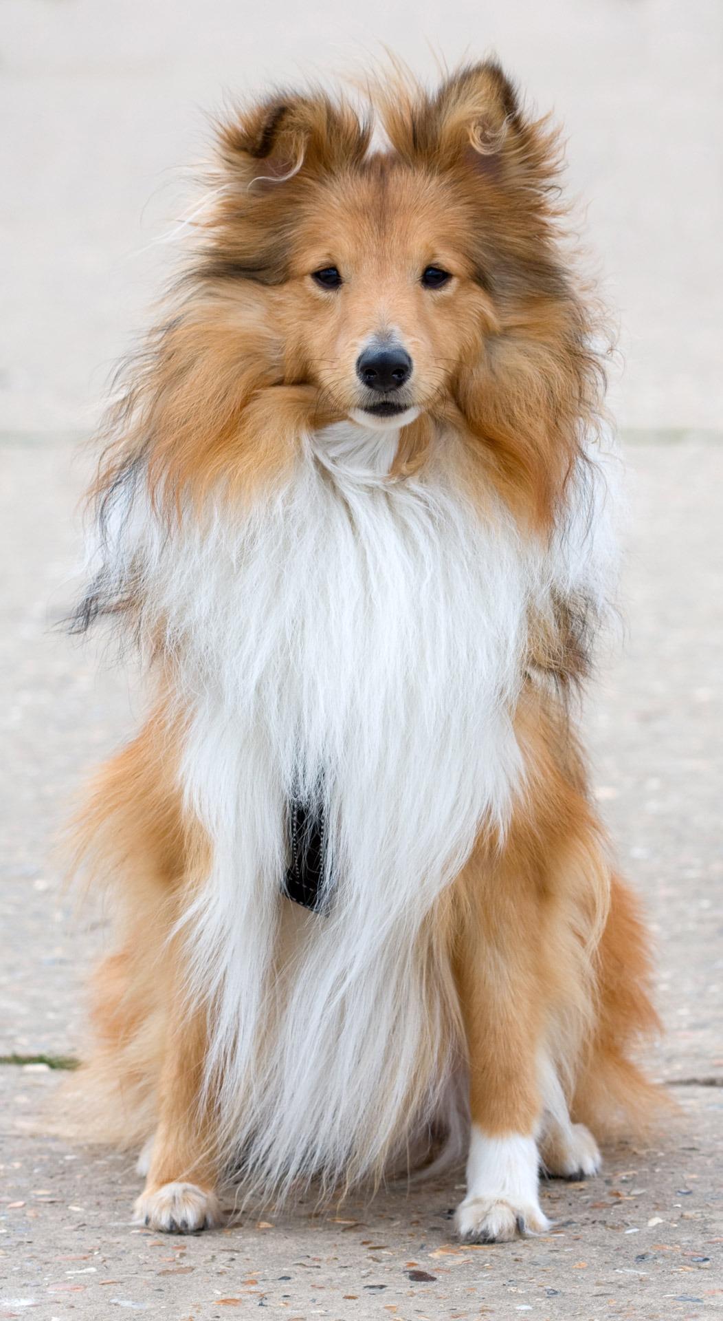 Simple Icelandic Sheepdog Canine Adorable Dog - dog-animal-cute-canine-photo-collie-pet-portrait-macro-sitting-mammal-close-up-vertebrate-details-beautiful-image-pretty-dog-breed-breed-pomeranian-sheltie-shetland-sheepdog-dog-like-mammal-carnivoran-dog-breed-group-icelandic-sheepdog-finnish-spitz-rough-collie-german-spitz-mittel-german-spitz-german-spitz-klein-tibetan-spaniel-scotch-collie-1022789  Trends_167114  .jpg