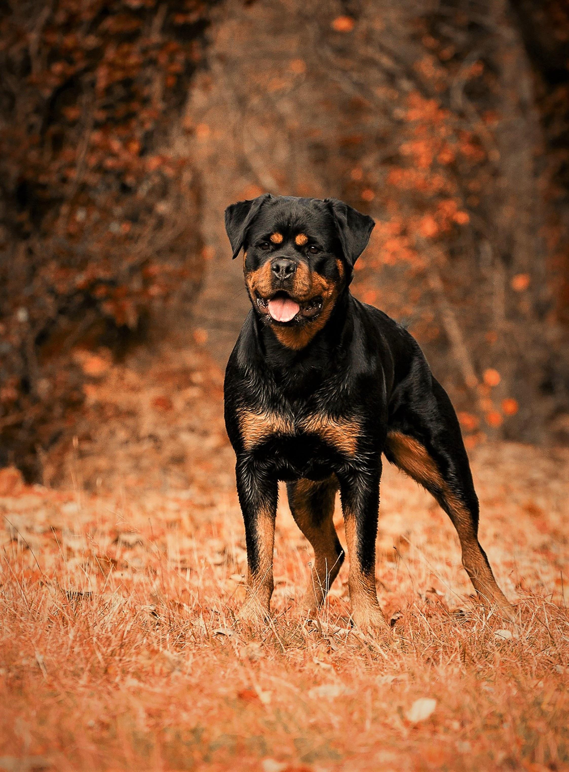 rottweiler dog images - HD2246×3048