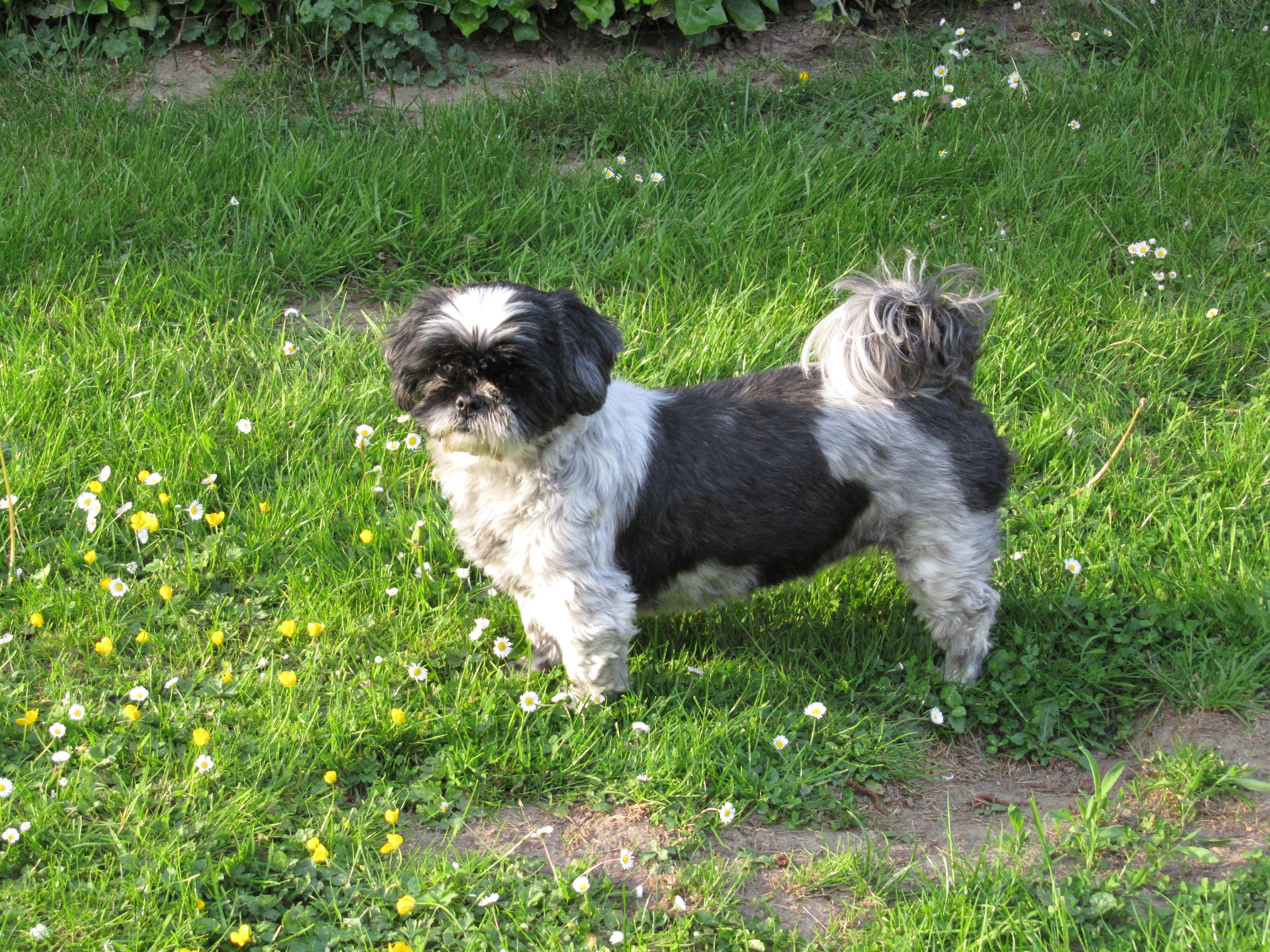 Free Images Animal Vertebrate Dog Breed Lhasa Apso Shih Tzu