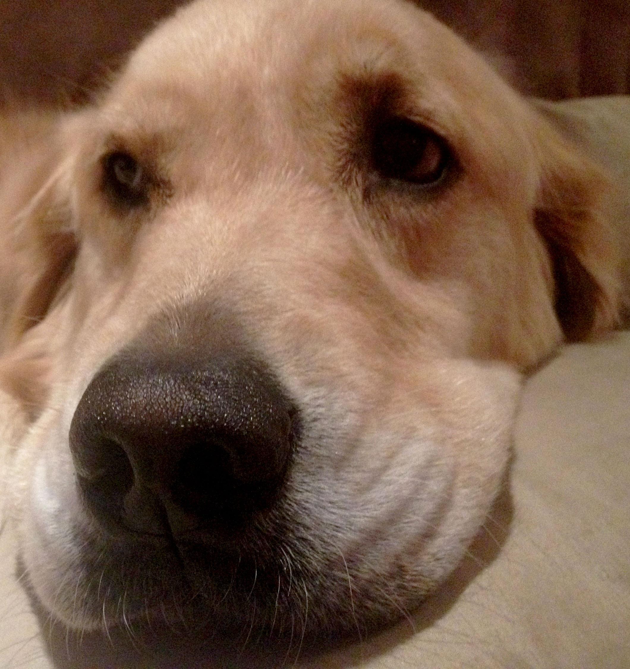 Free Images Animal Pet Nose Golden Retriever Snout Head