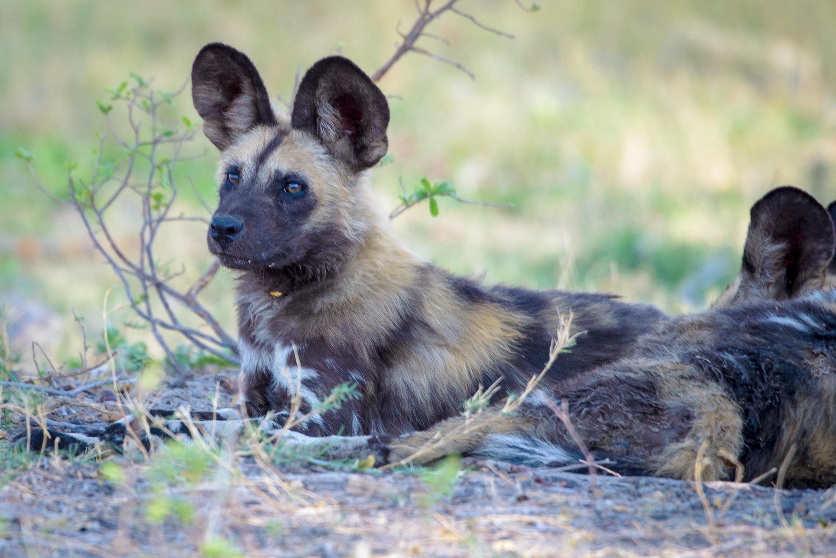 Chien Peint images gratuites : animal, faune, vertébré, botswana, race de chien