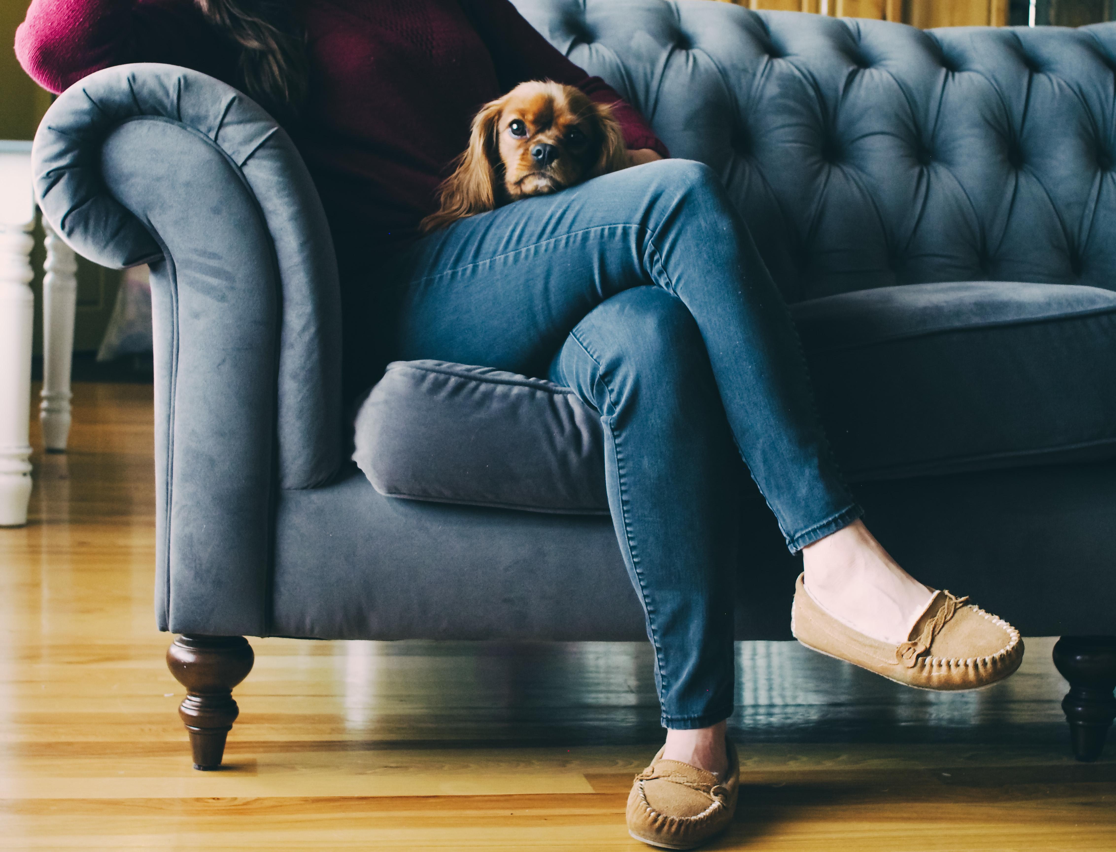 free images dog canine pet sitting blue furniture. Black Bedroom Furniture Sets. Home Design Ideas