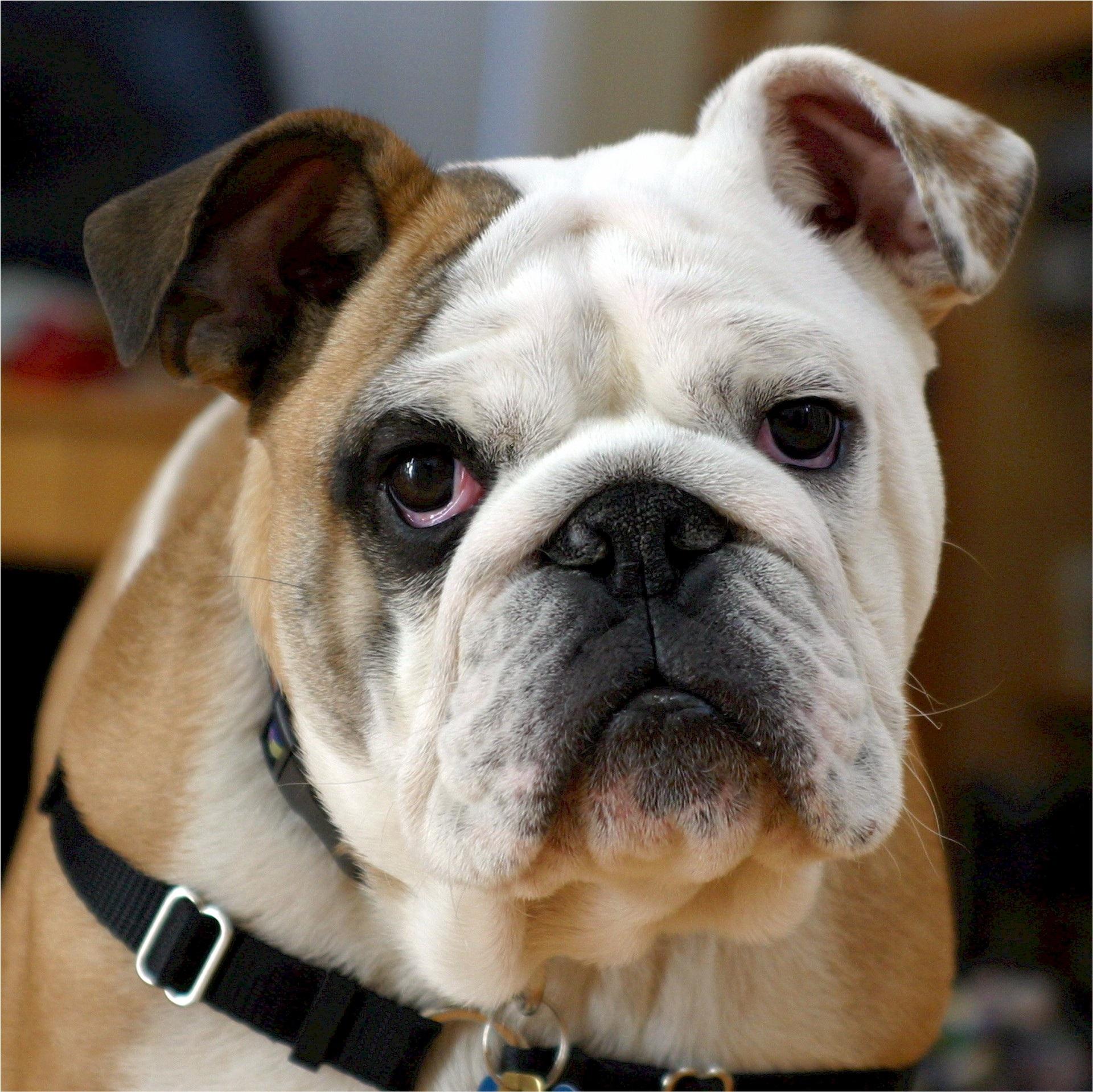 Best Bulldog Canine Adorable Dog - dog-canine-portrait-mammal-bulldog-face-vertebrate-adorable-french-bulldog-dog-breed-wrinkled-stout-tenacious-english-bulldog-stubborn-old-english-bulldog-dog-like-mammal-olde-english-bulldogge-toy-bulldog-british-bulldogs-australian-bulldog-white-english-bulldog-american-bulldog-771758  Photograph_797581  .jpg