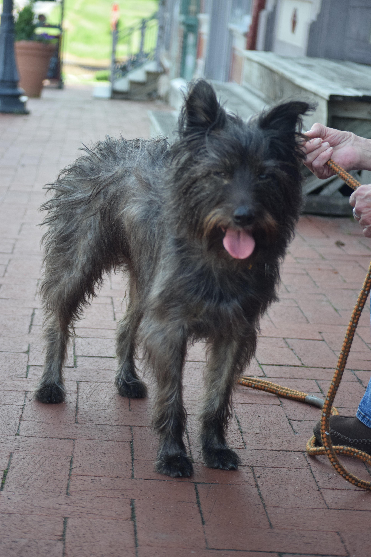Wszystkie nowe Darmowe Zdjęcia : Pies jak ssak, rasa psa, Cairn terrier, sznaucer DW99