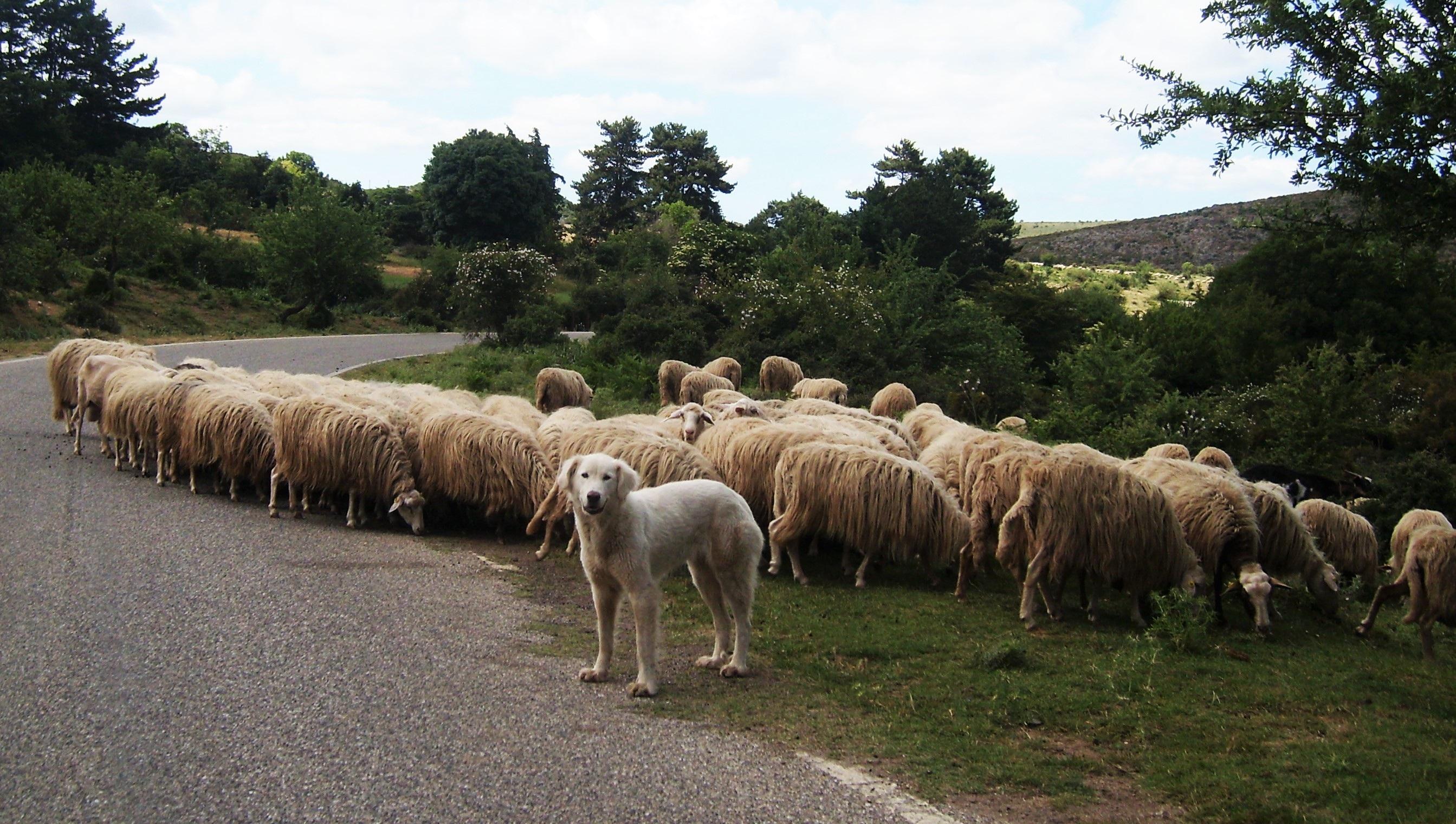 Images gratuites chien troupeau p turage b tail - Photos de moutons gratuites ...