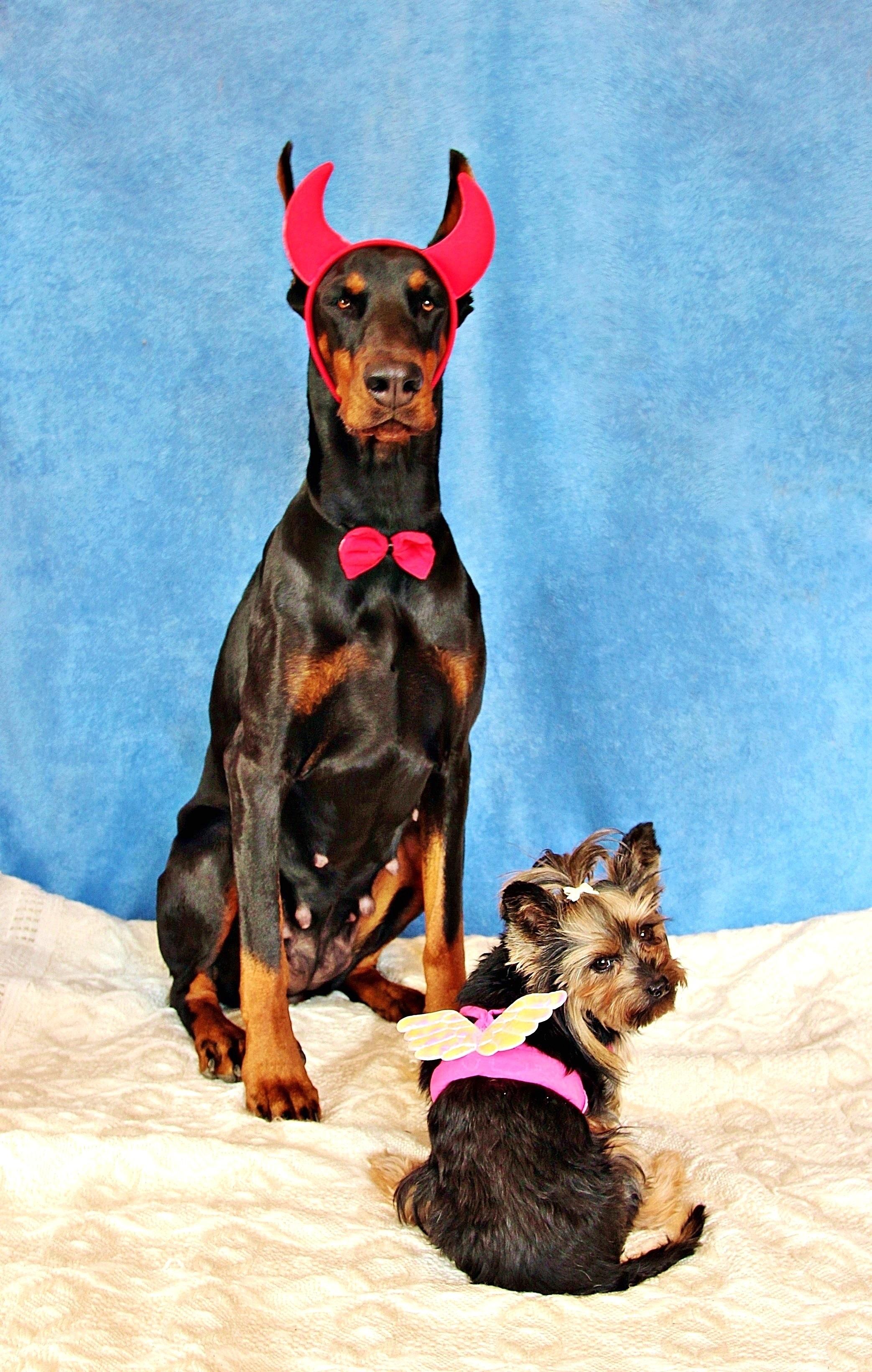 Free Images : angel, dogs, vertebrate, devil, dog breed ...