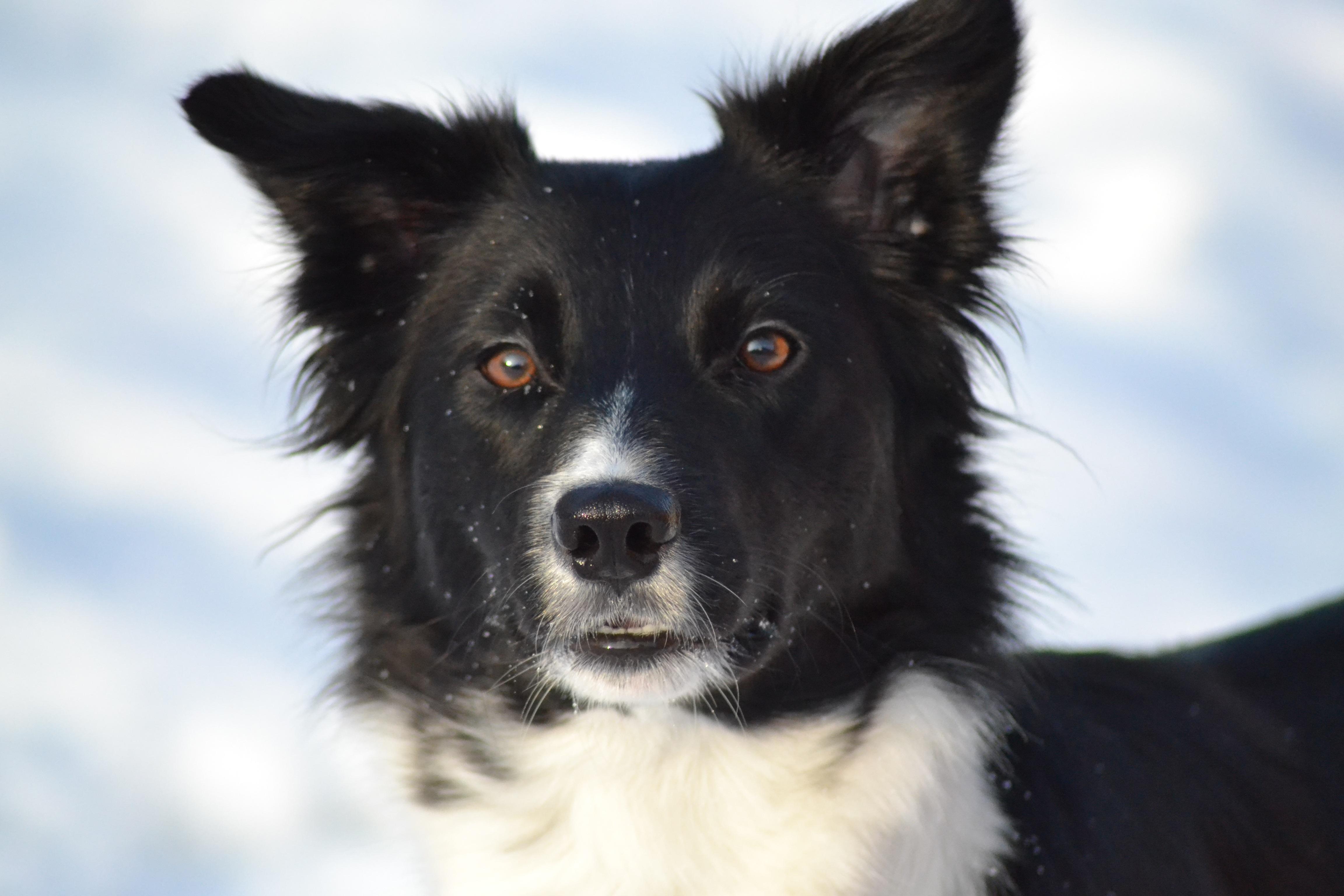 Free Images : Border Collie, Vertebrate, Dog Breed, Winter