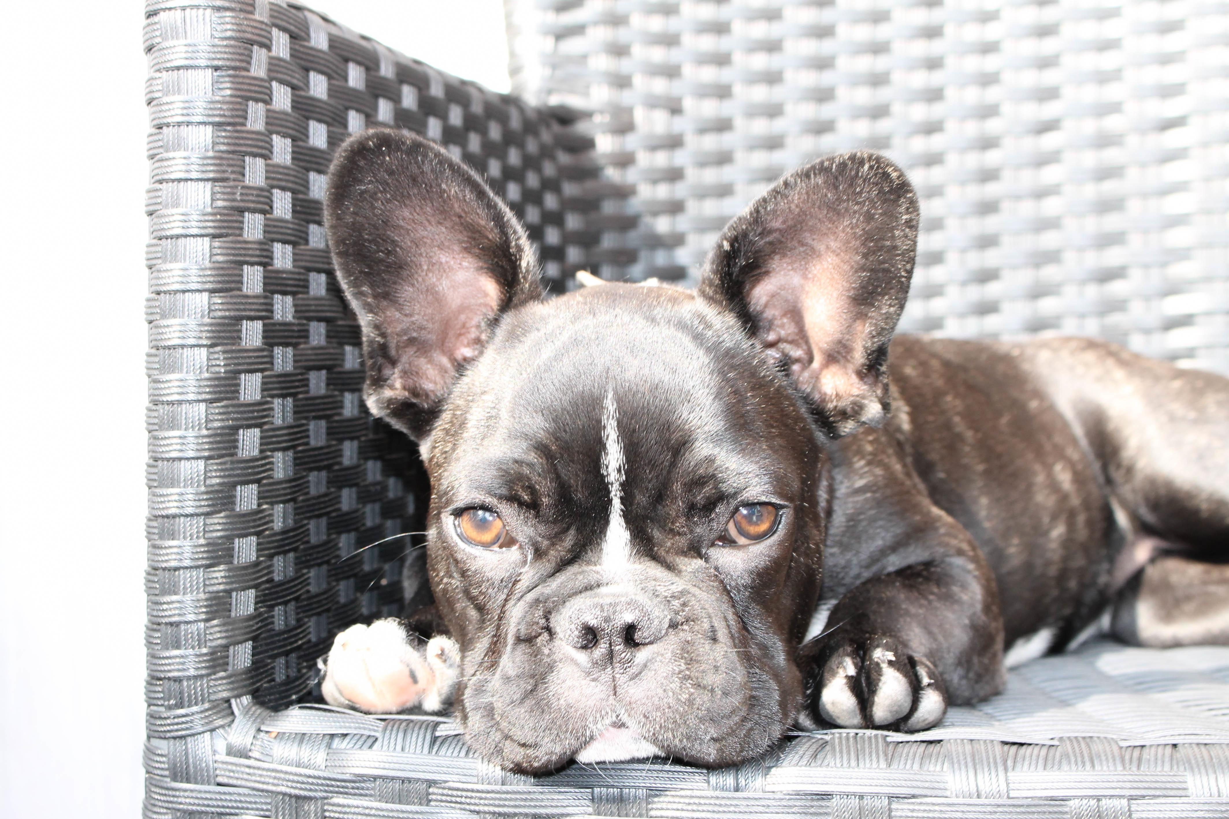 Pes savec buldok obratlovců francouzský buldoček psí plemeno starý anglický  buldok pes jako savci olde anglicky 81259f45ee