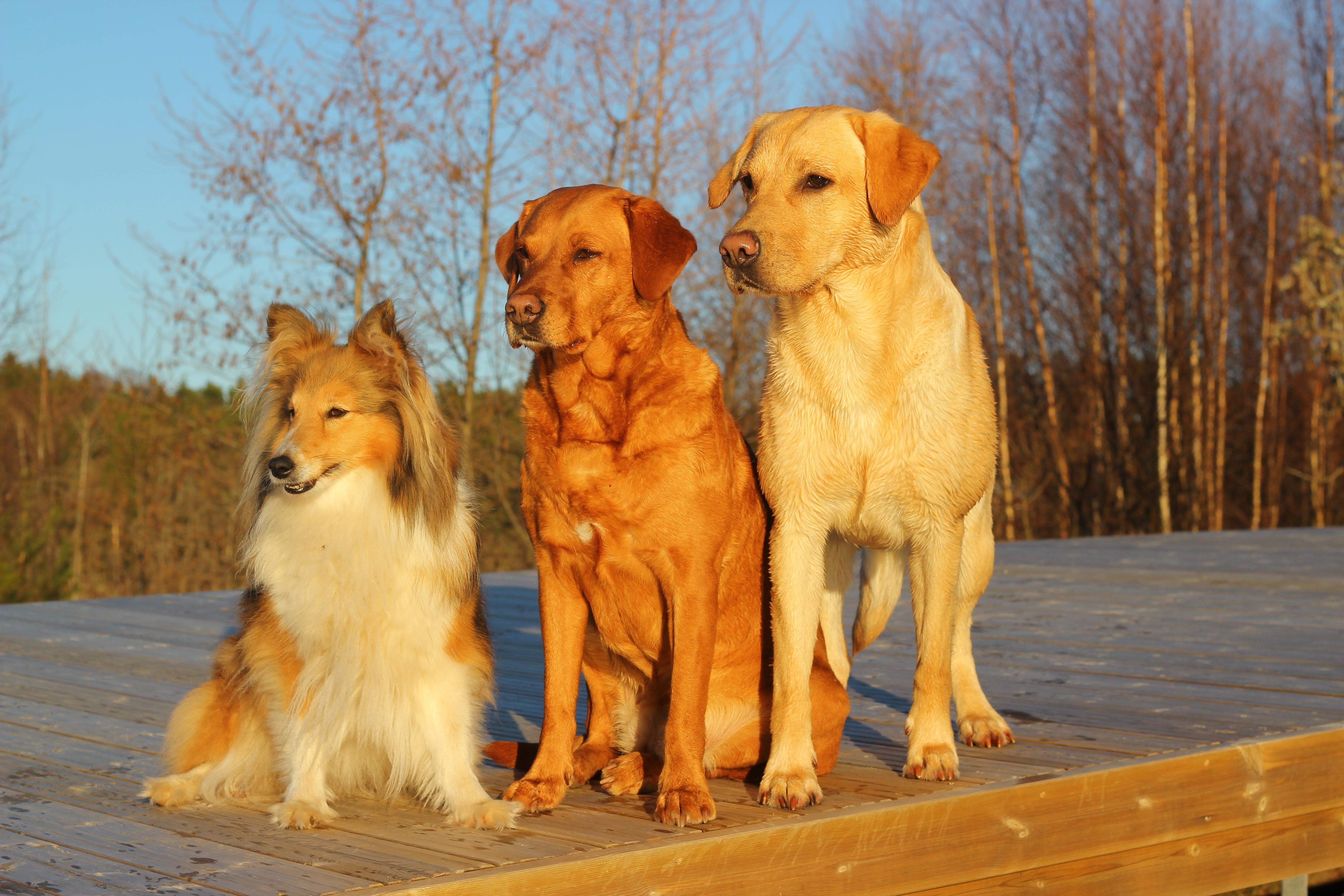 Free Images Golden Retriever Friends Vertebrate Trio