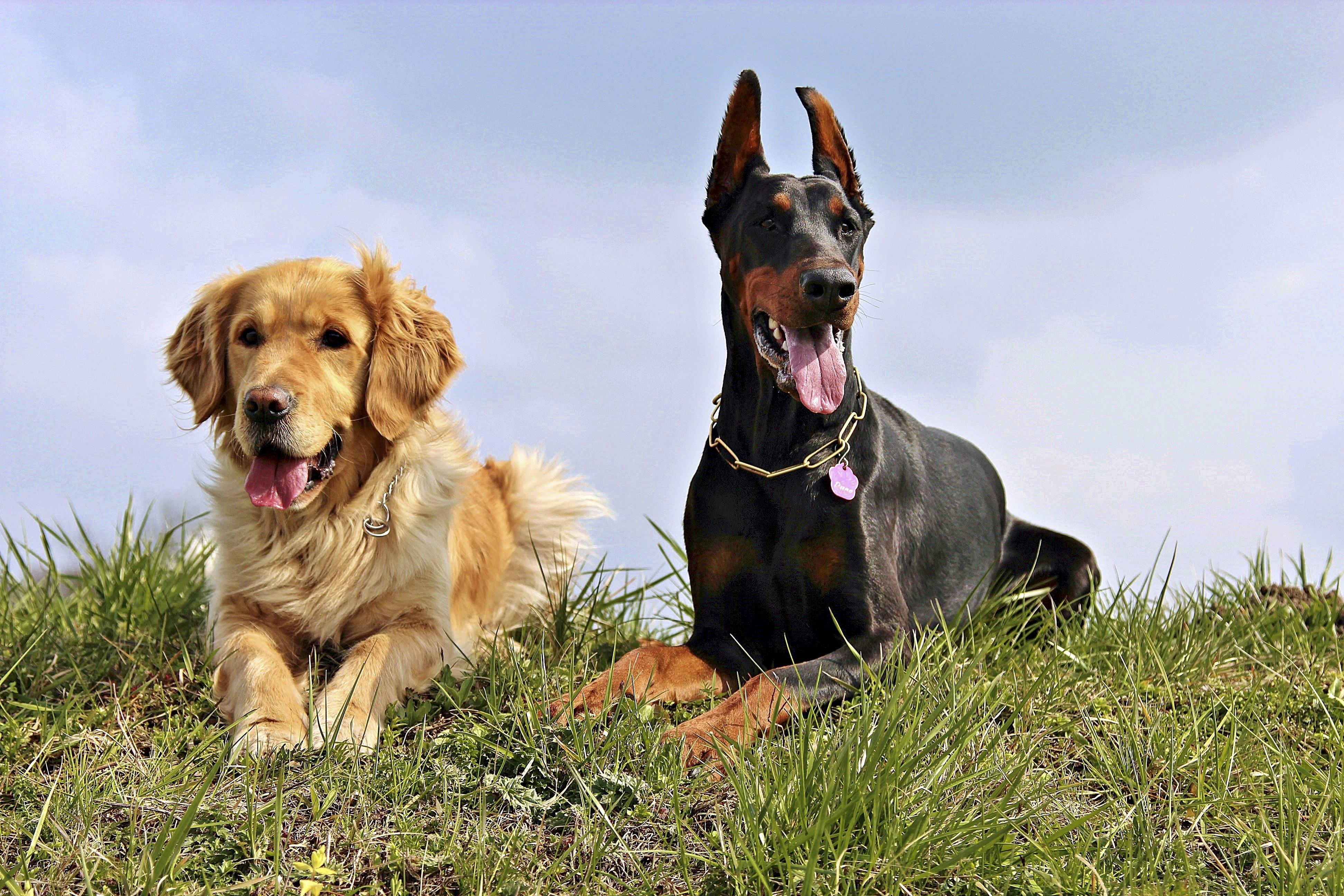 Free Images : Dogs, Vertebrate, Dog Breed, Doberman, Dog