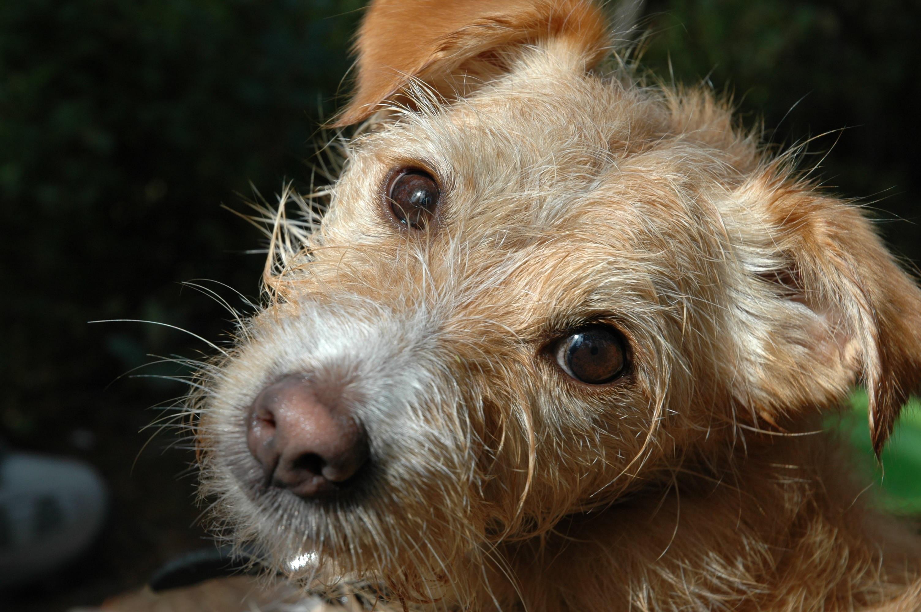 Kostenlose foto : Gesicht, Schnauze, Wirbeltier, Hunderasse, Hund ...