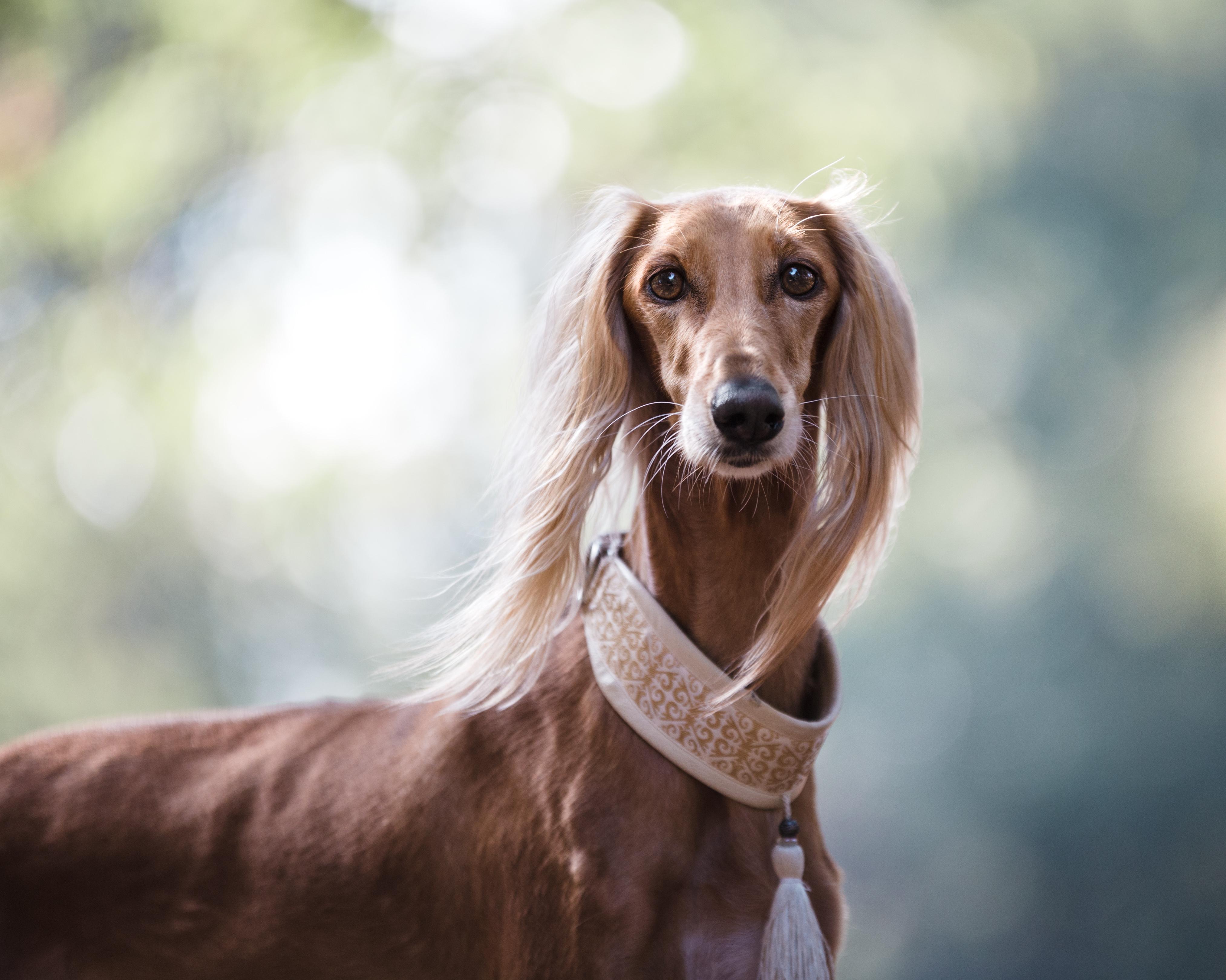 Free Images : Collar, Vertebrate, Dog Breed, Dachshund
