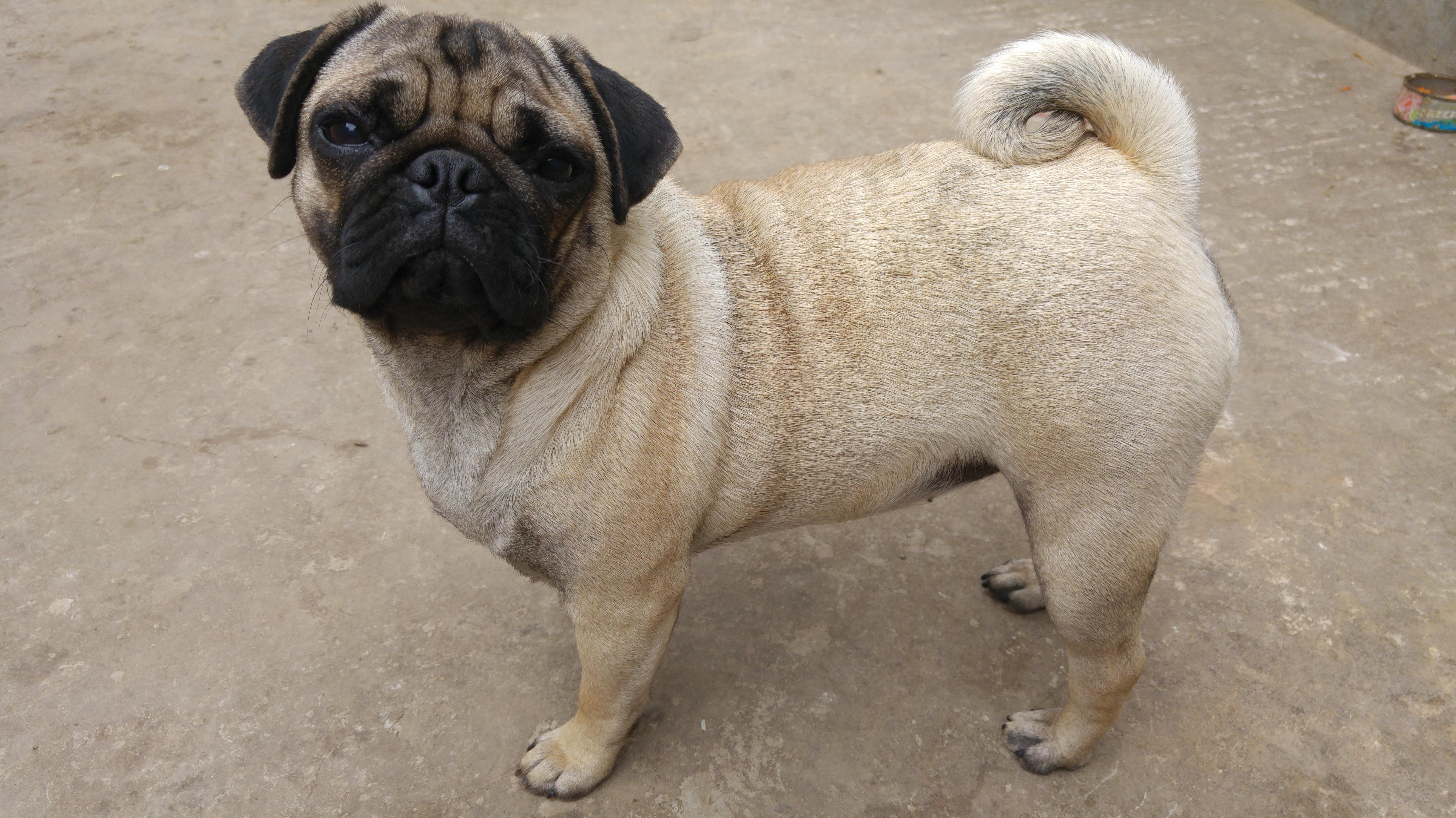 Free Images : Pug, Pets, Dogs, Animals, Vertebrate, Dog