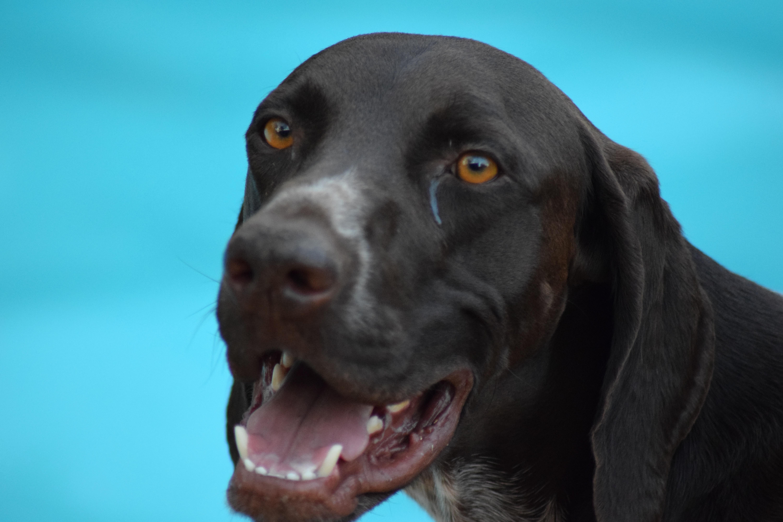sporting dogs labrador retrievers birds of prey and - HD6000×4000