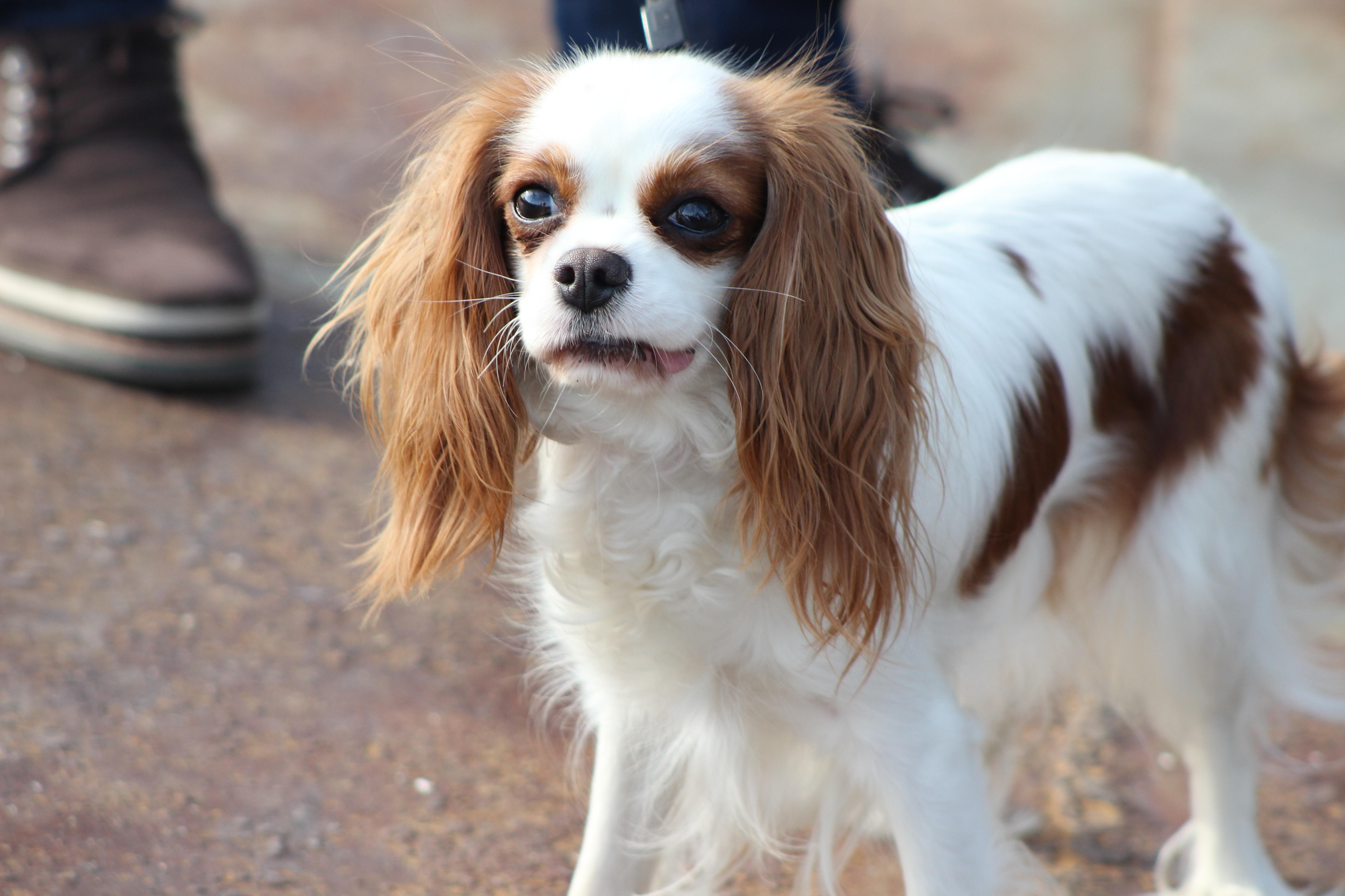 Free Images Vertebrate Beautiful Dog Breed Cavalier King